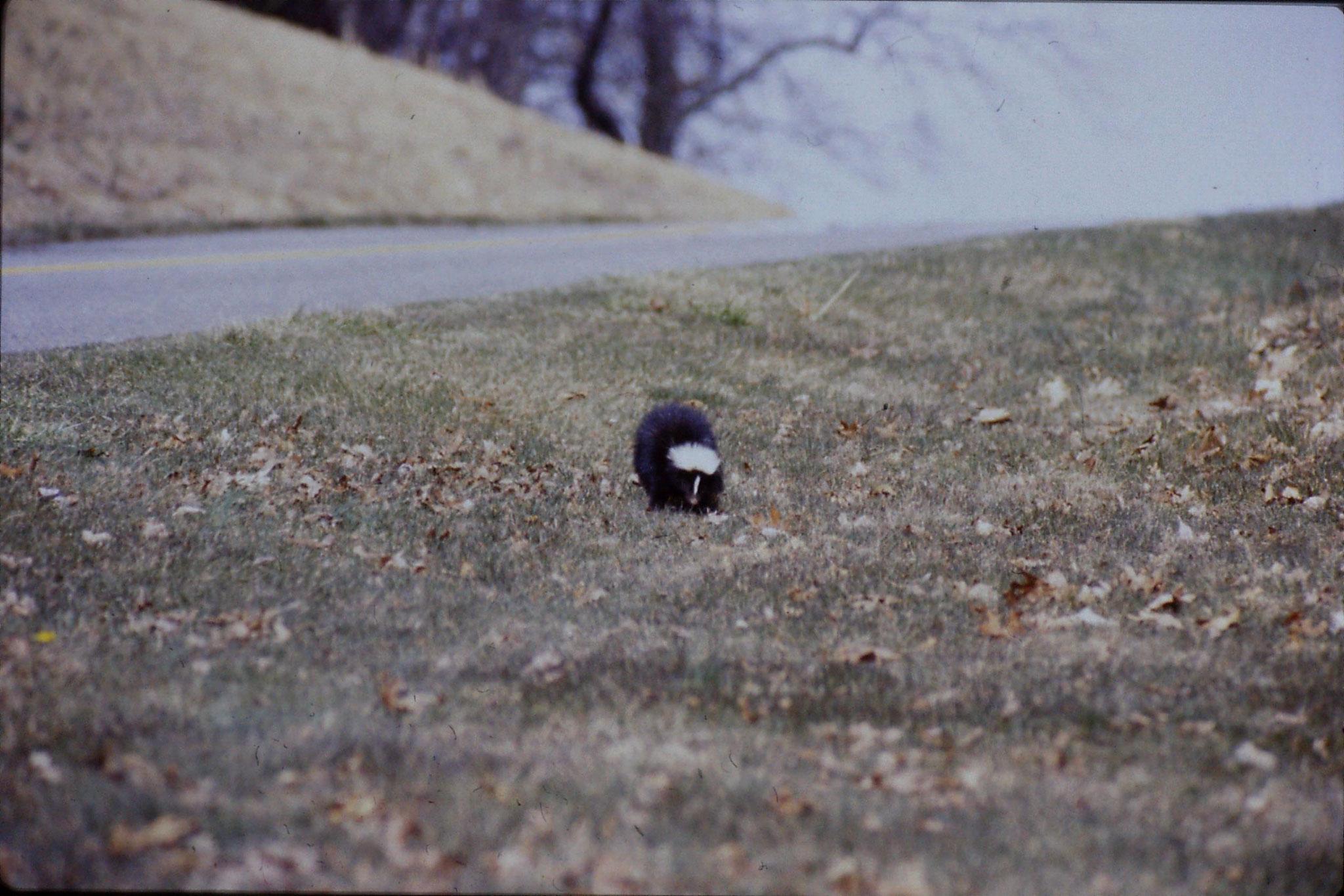 17/3/1991: 25: Benge Gap skunk