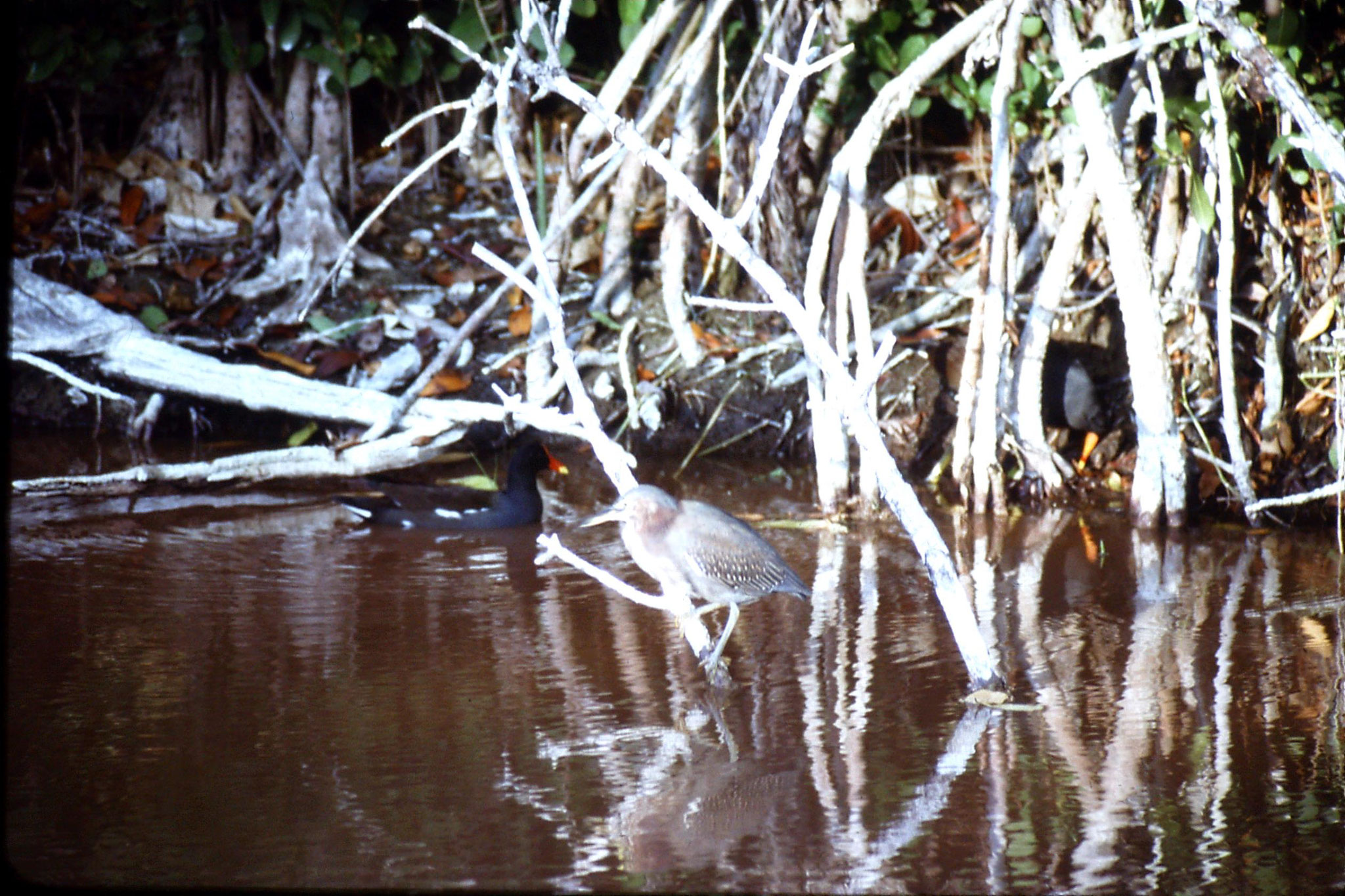 5/1/1991: 28: Little green heron and two common gallinules