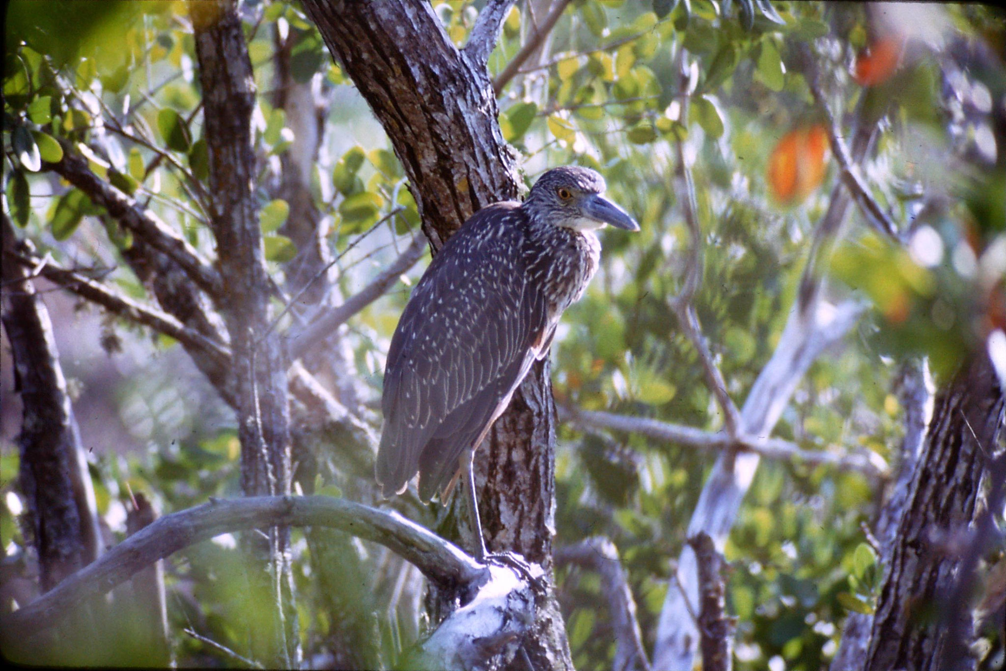 5/1/1991: 25: juvenile black crowned night heron