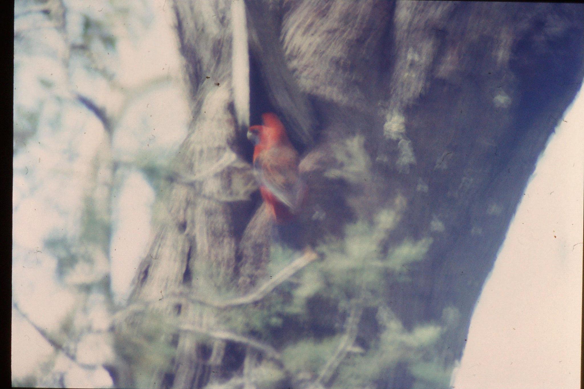 21/9/1990: 0: near Sundial picnic gound, crimson rosella