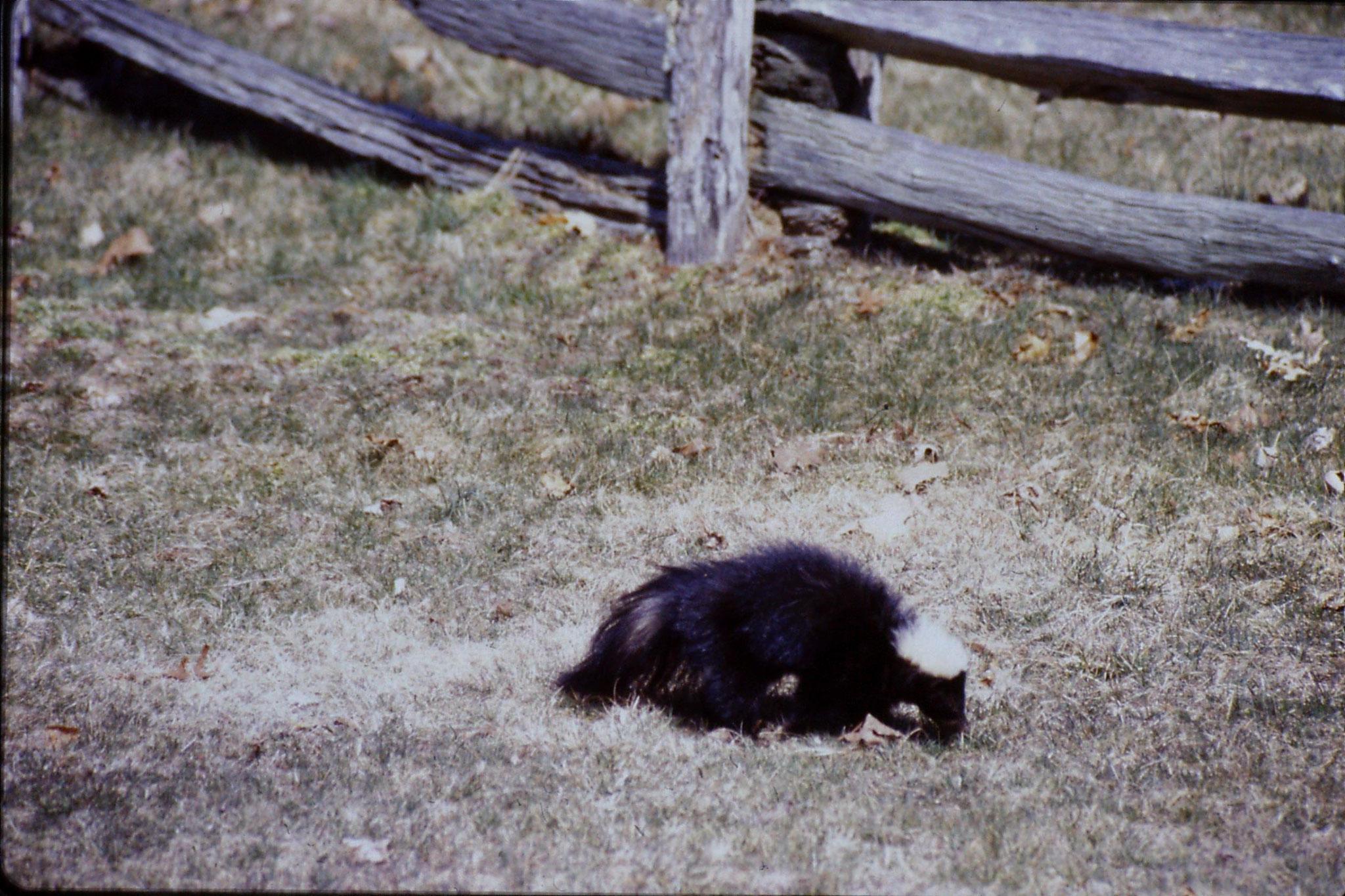 17/3/1991: 27: Benge Gap skunk