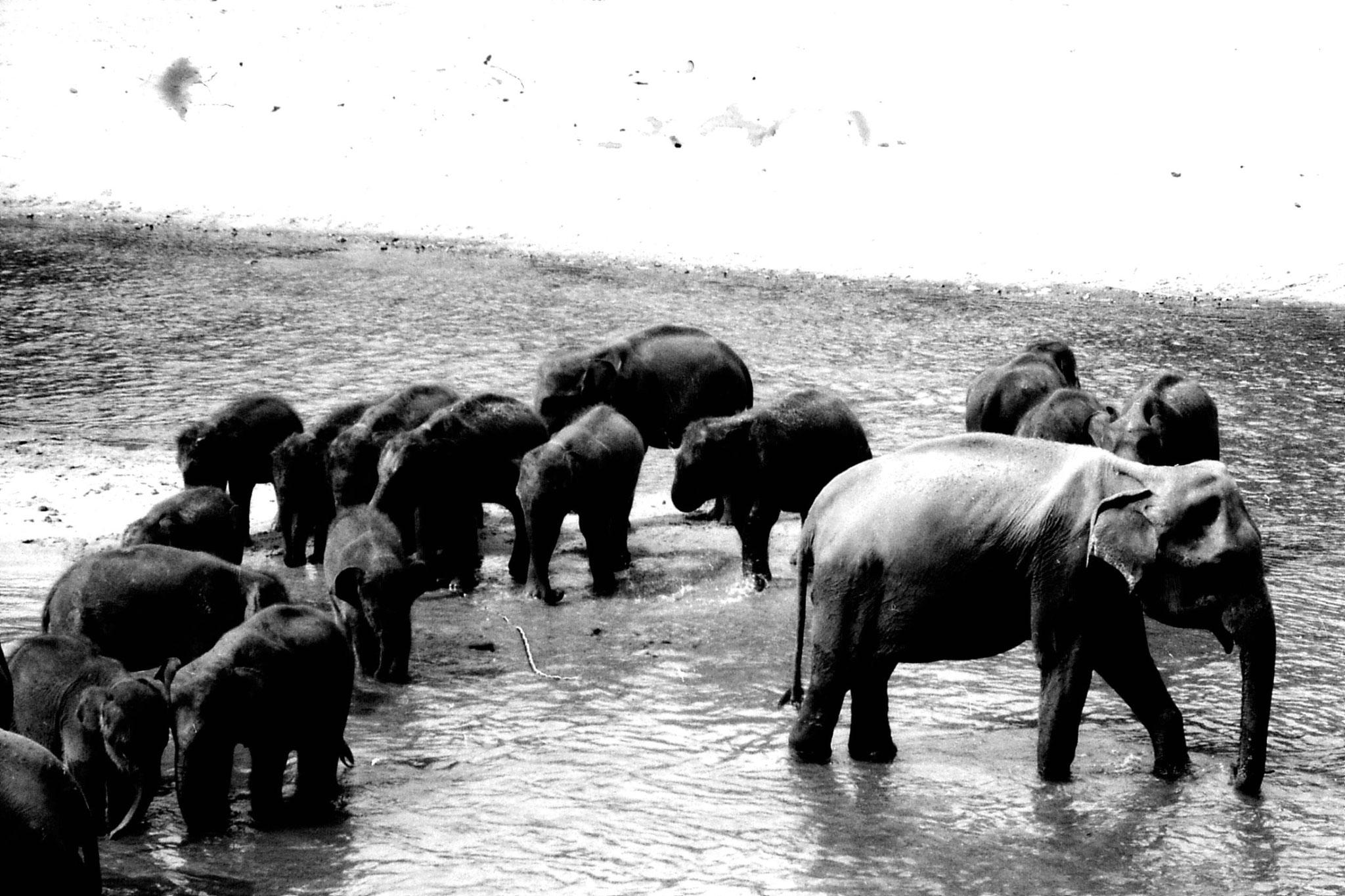 10/2/90: 36: Kegalla elephant orphanage