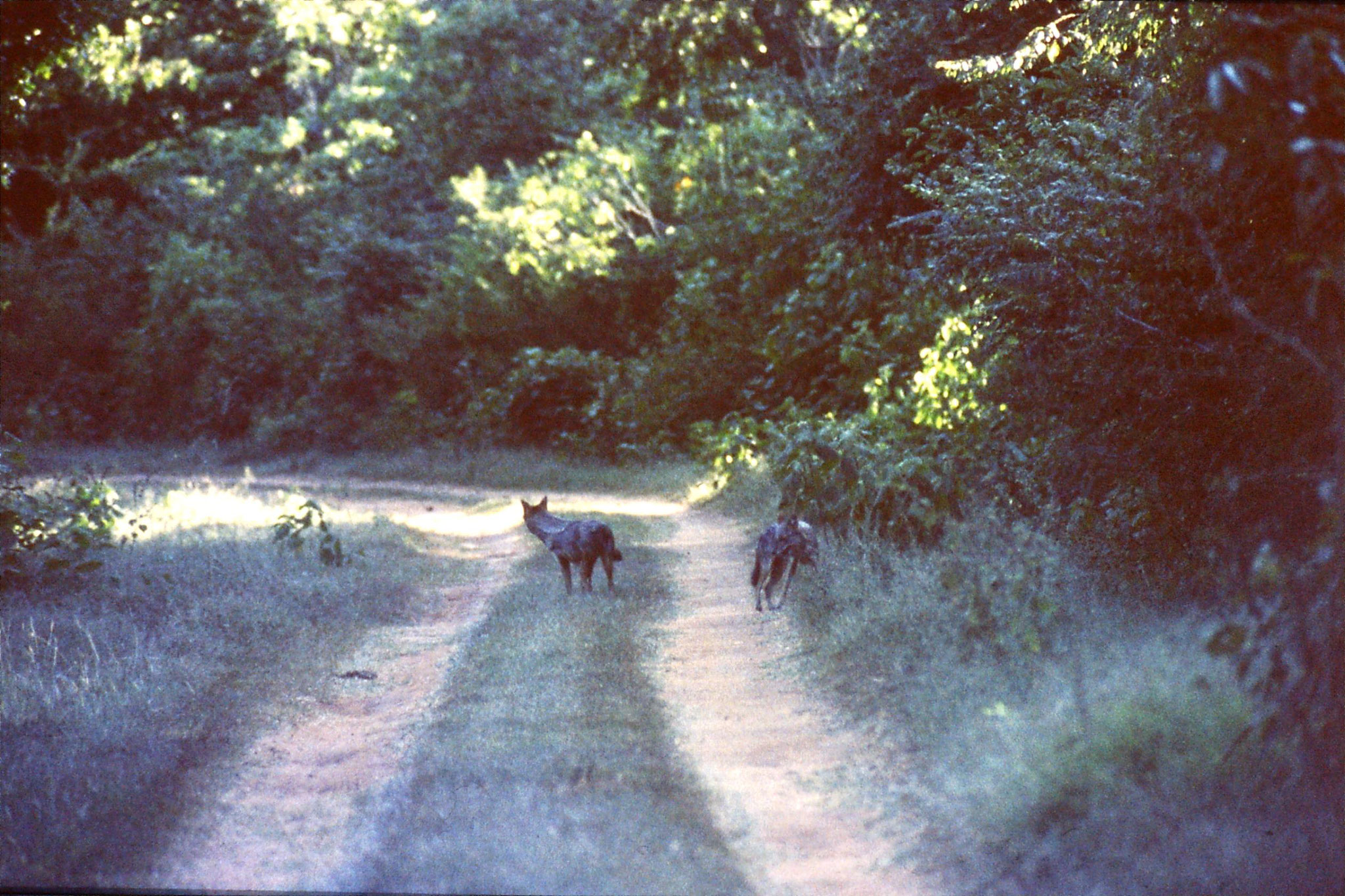 28/1/1990: 0: Uda Walawe jackals