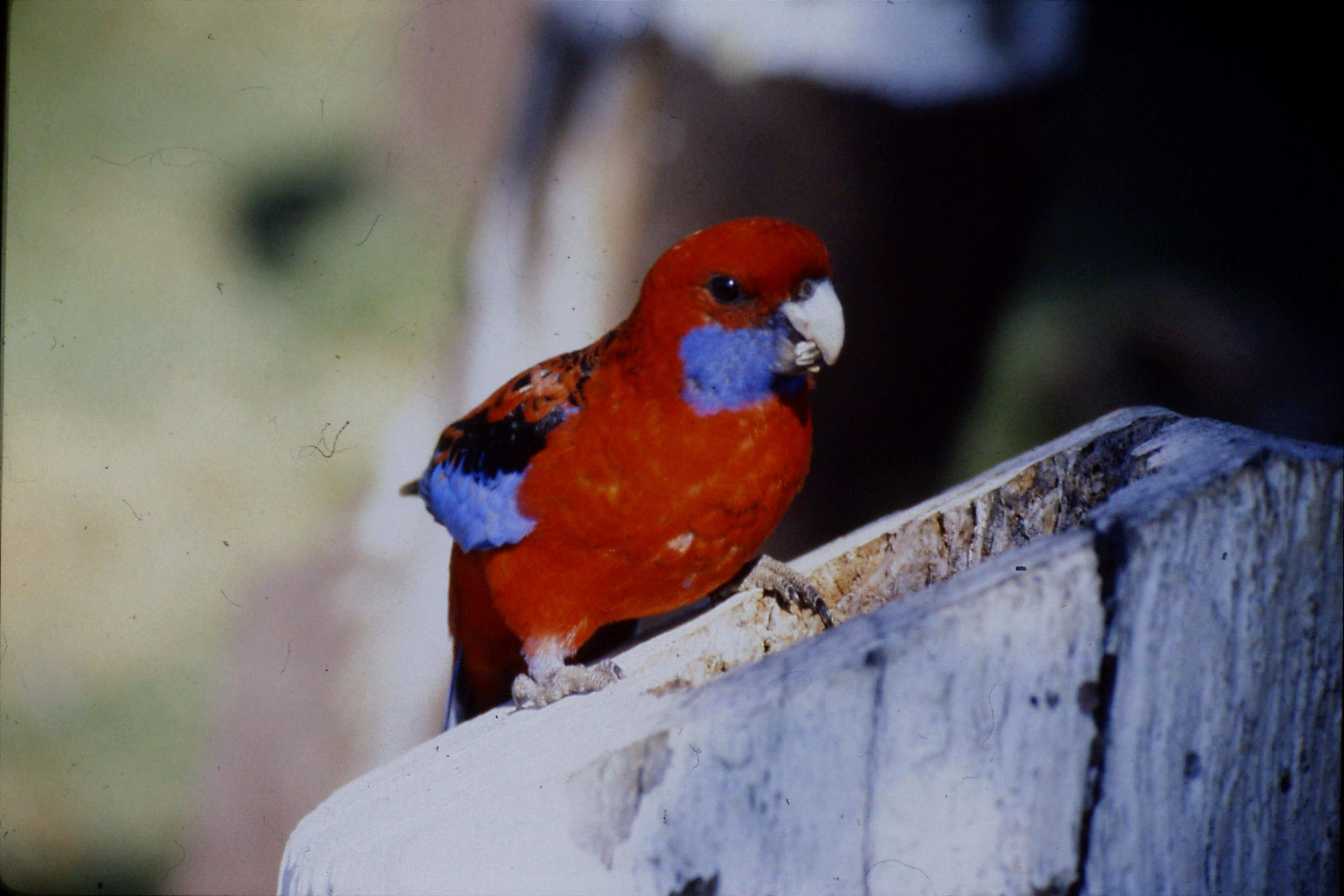 12/10/1990: 34: Lamington Nat. Pk., Crimson Rosella