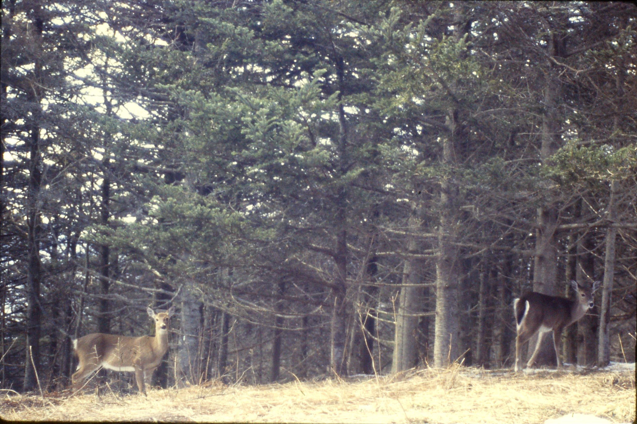 16/3/1991: 18: Mt Mitchell N.C. white tailed deer