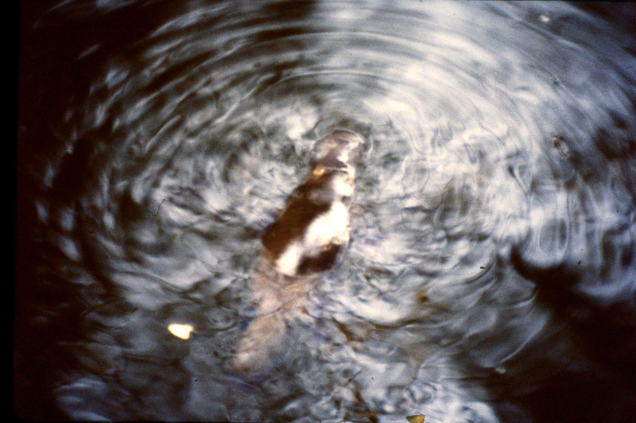16/10/1990: 26: Eungella, Broken River, platypus