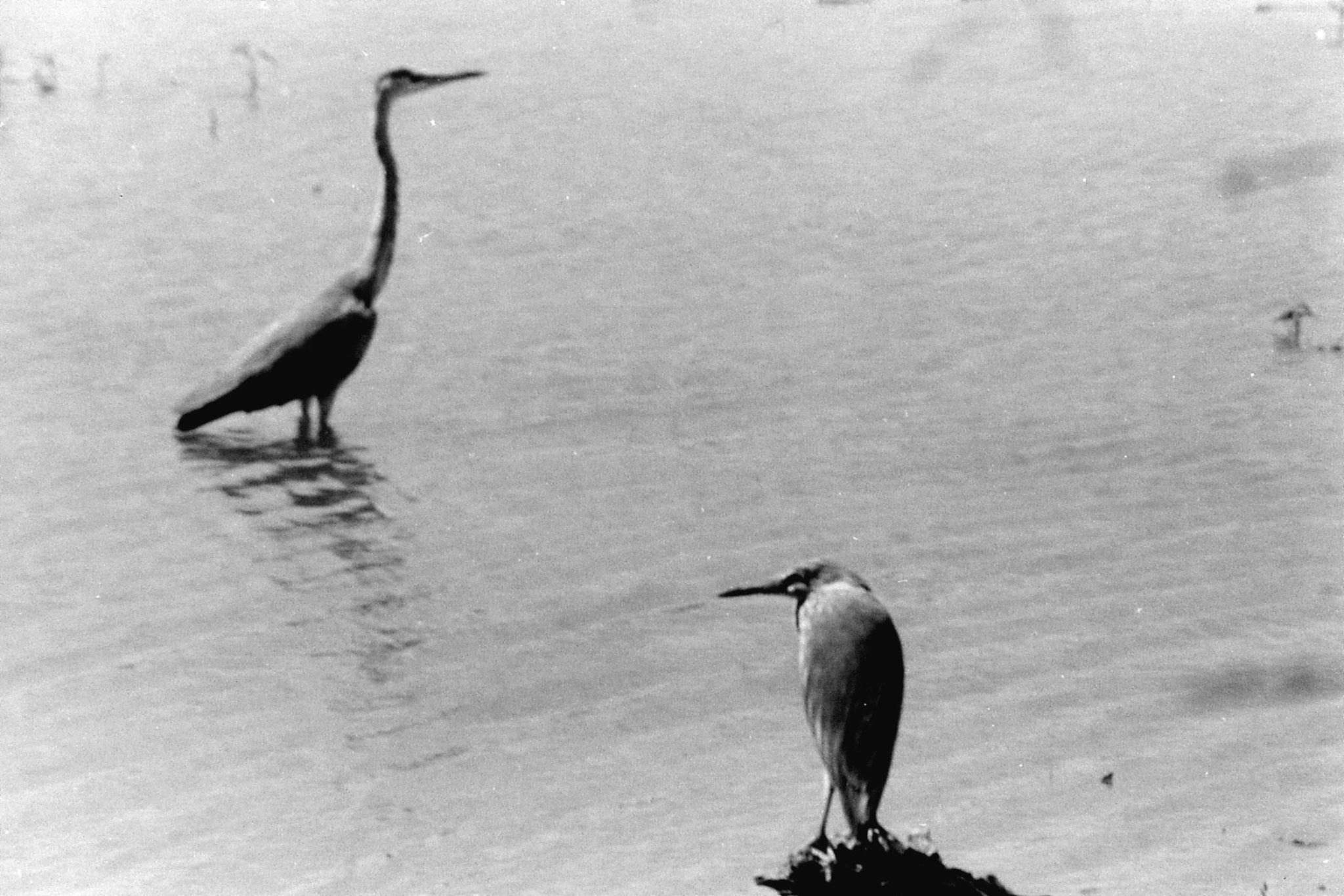 1/4/1990: 8: Bharatpur darter and heron