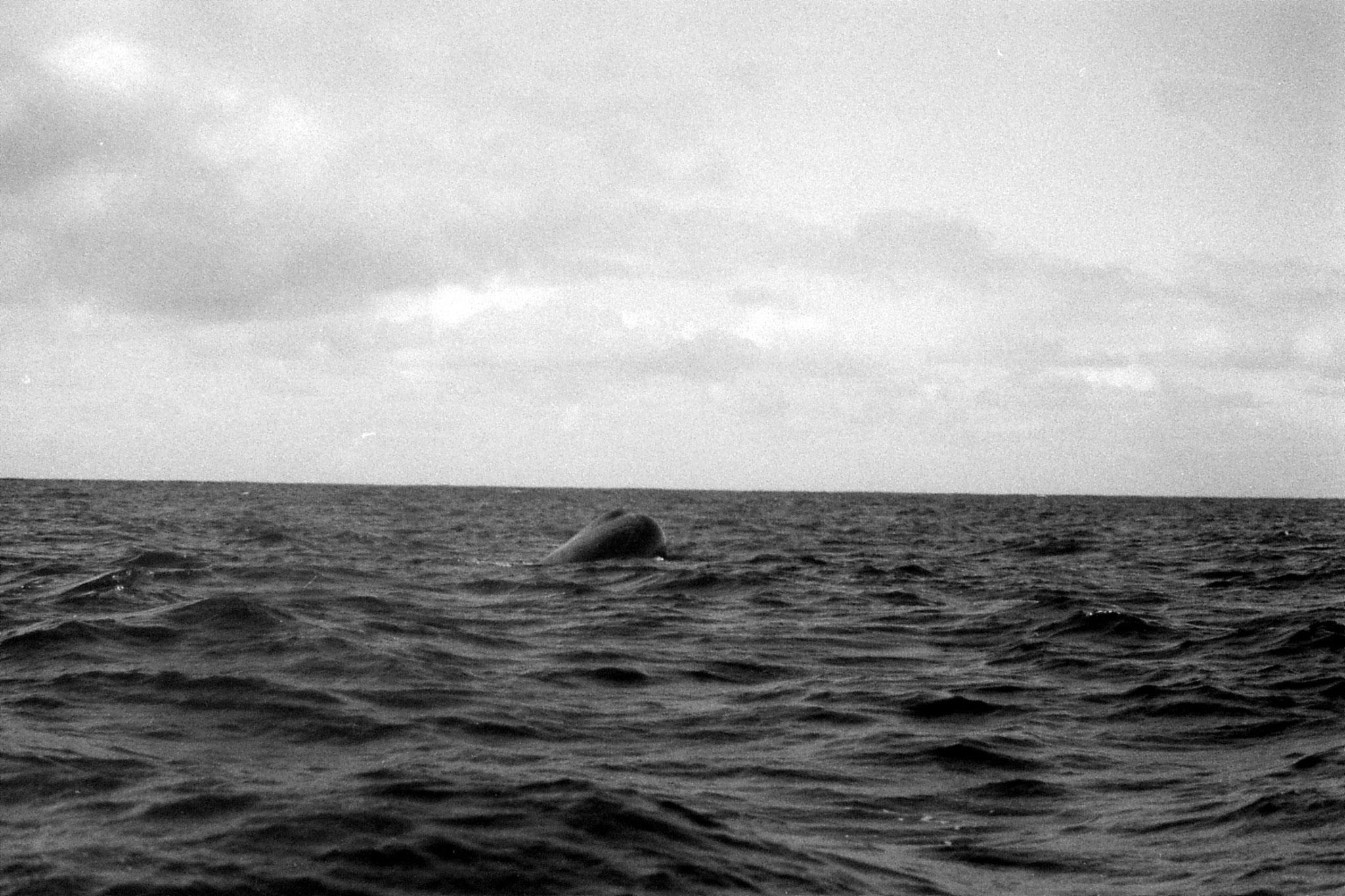9/8/1990: 19:Kaikoura: sperm whale
