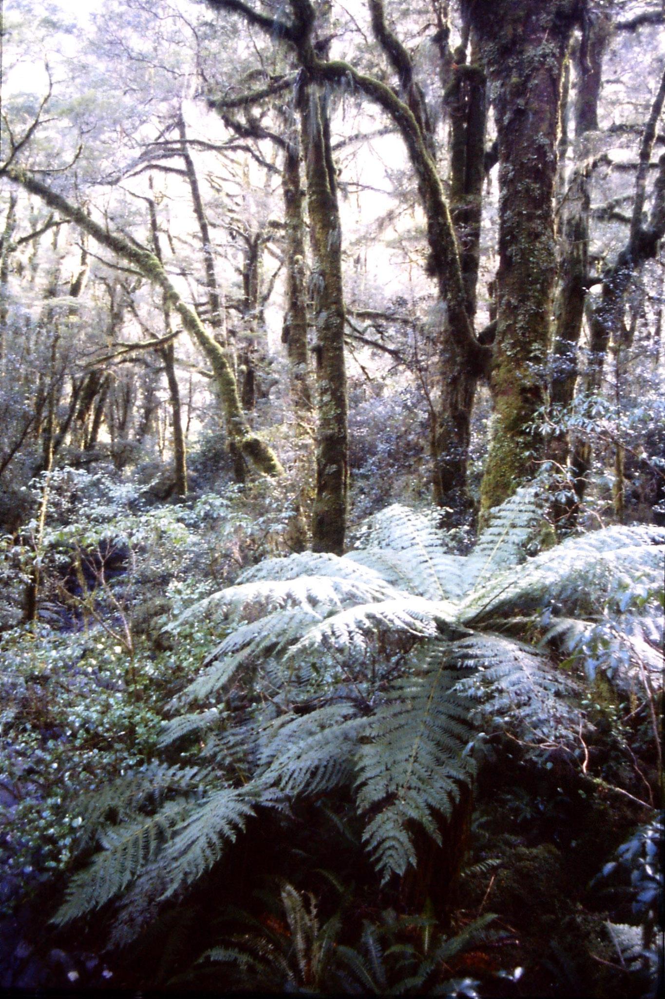 15/8/1990: 5: tree ferns