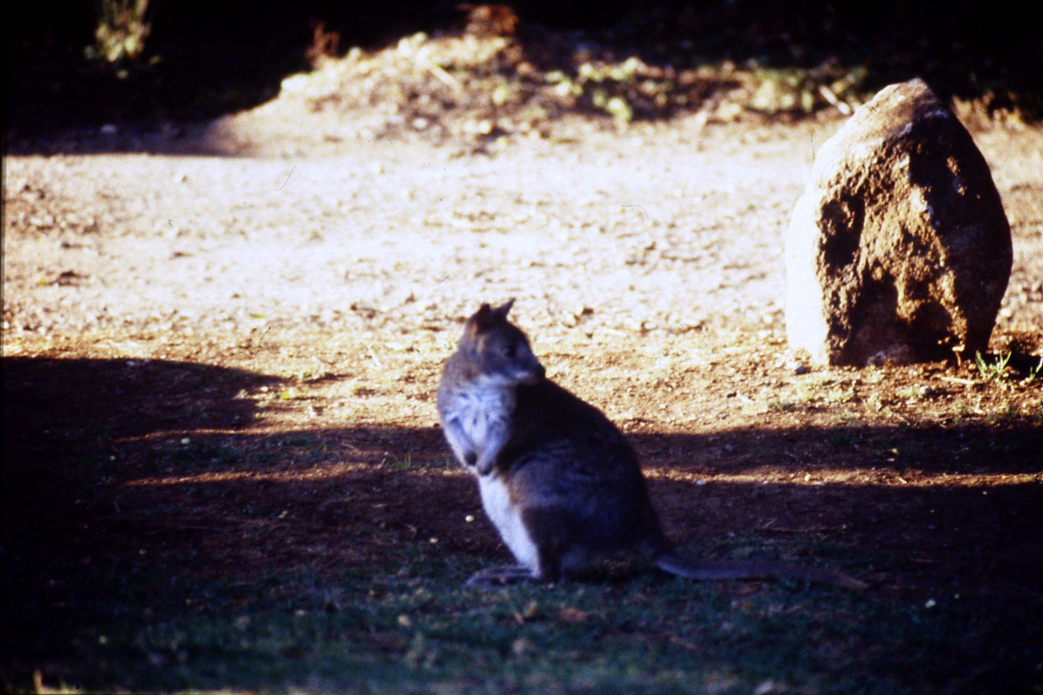 12/10/1990: 4: Mt Lamington, pademelon