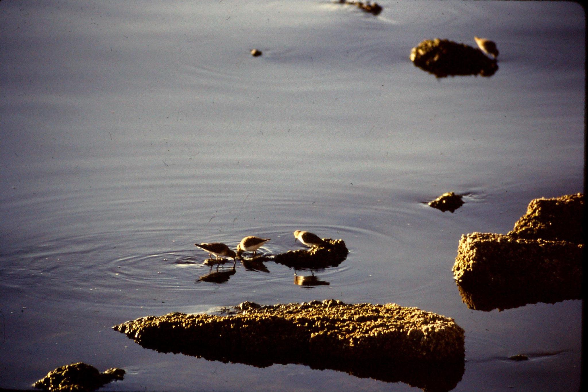 9/12/1990: 1: Salton Sea CA, western sandpipers
