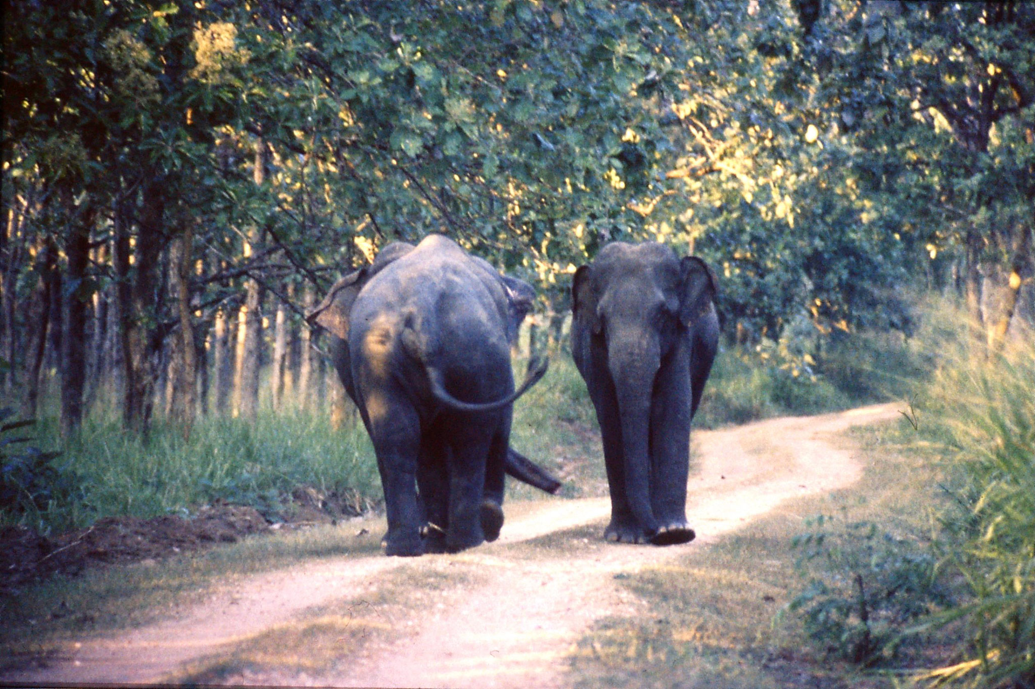 28/1/1990: 3: Uda Walawe Elephants