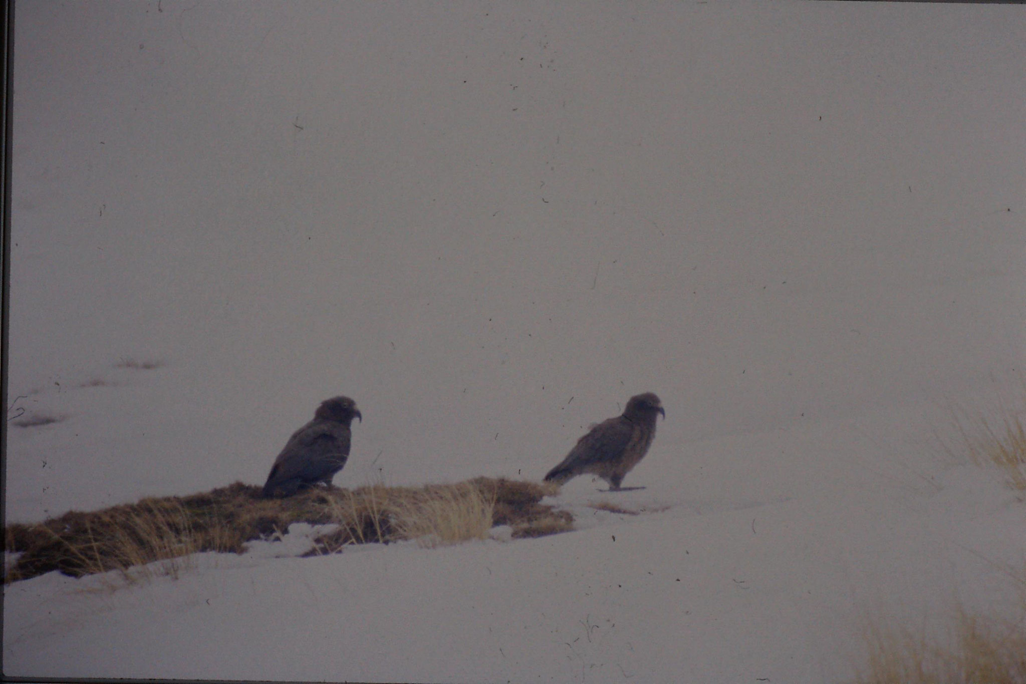 12/8/1990: 22: Remarkables Ski Resort - Keas