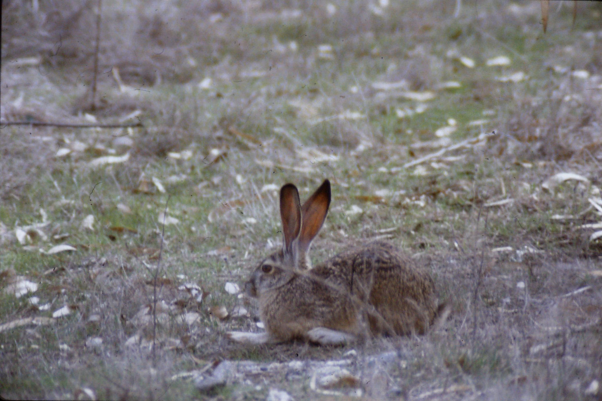 15/2/1991: 14: Sacramento NWR, Black Tailed Jack Rabbit