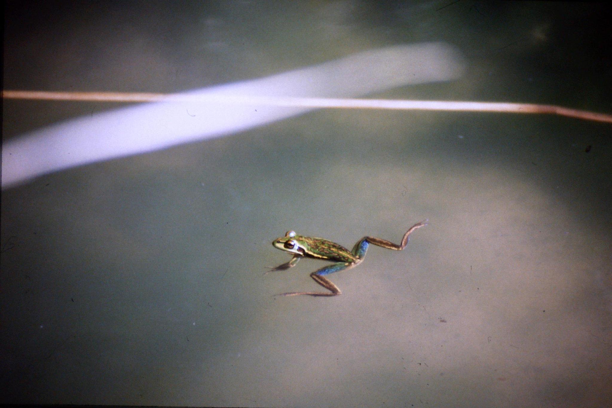 31/8/1990: 30: Waimangu frogs