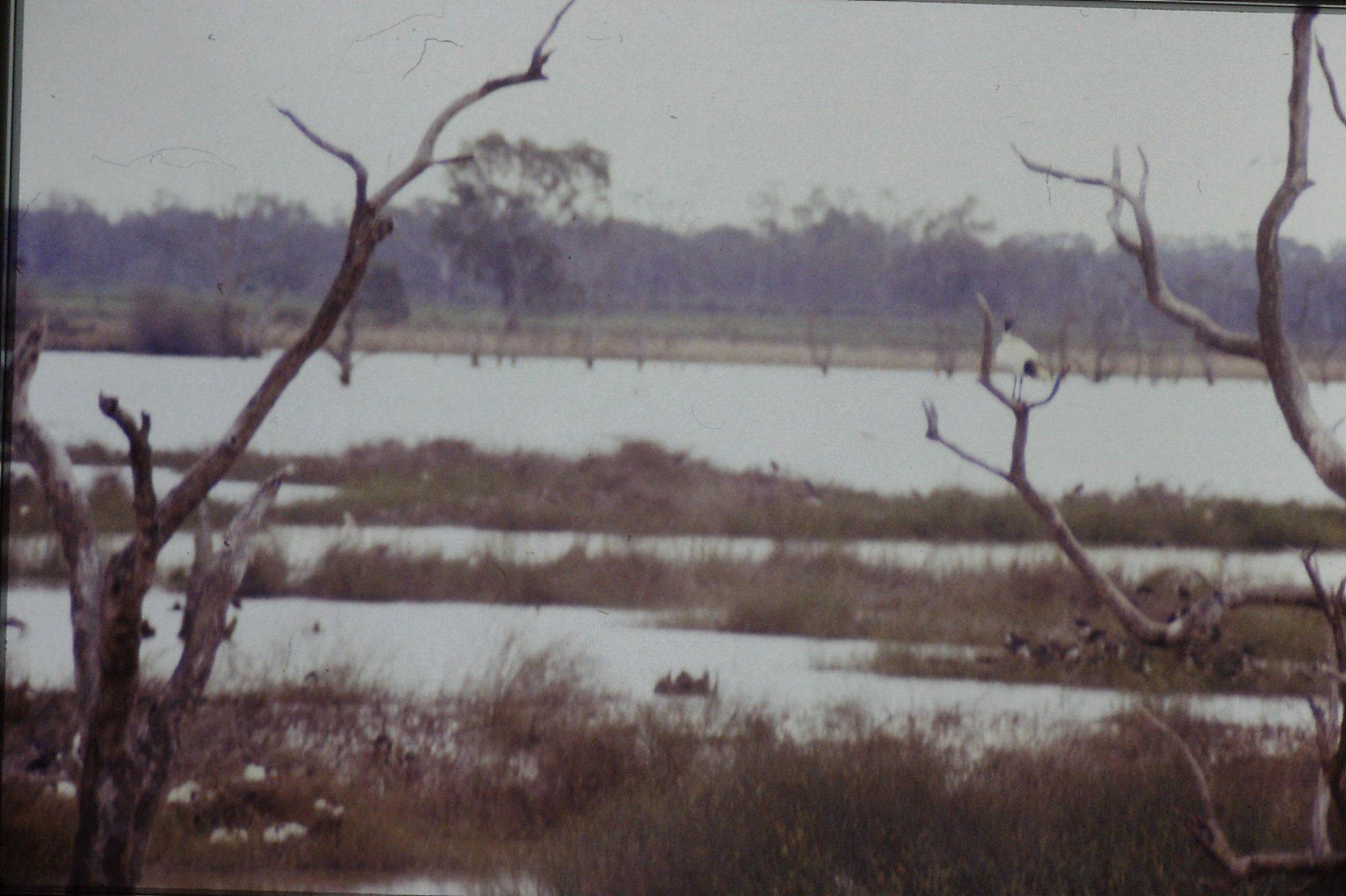 25/9/1990: 20: Kerang, ibis rookery