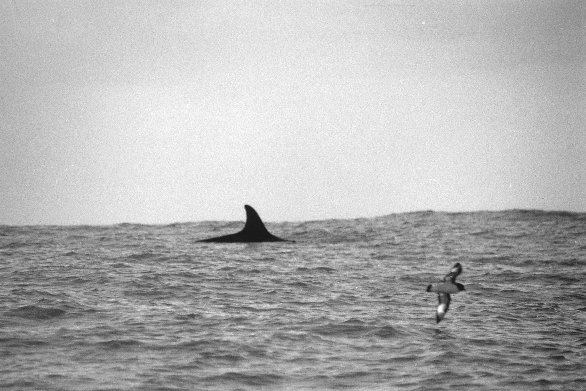 9/8/1990: 17:Kaikoura: sperm whale