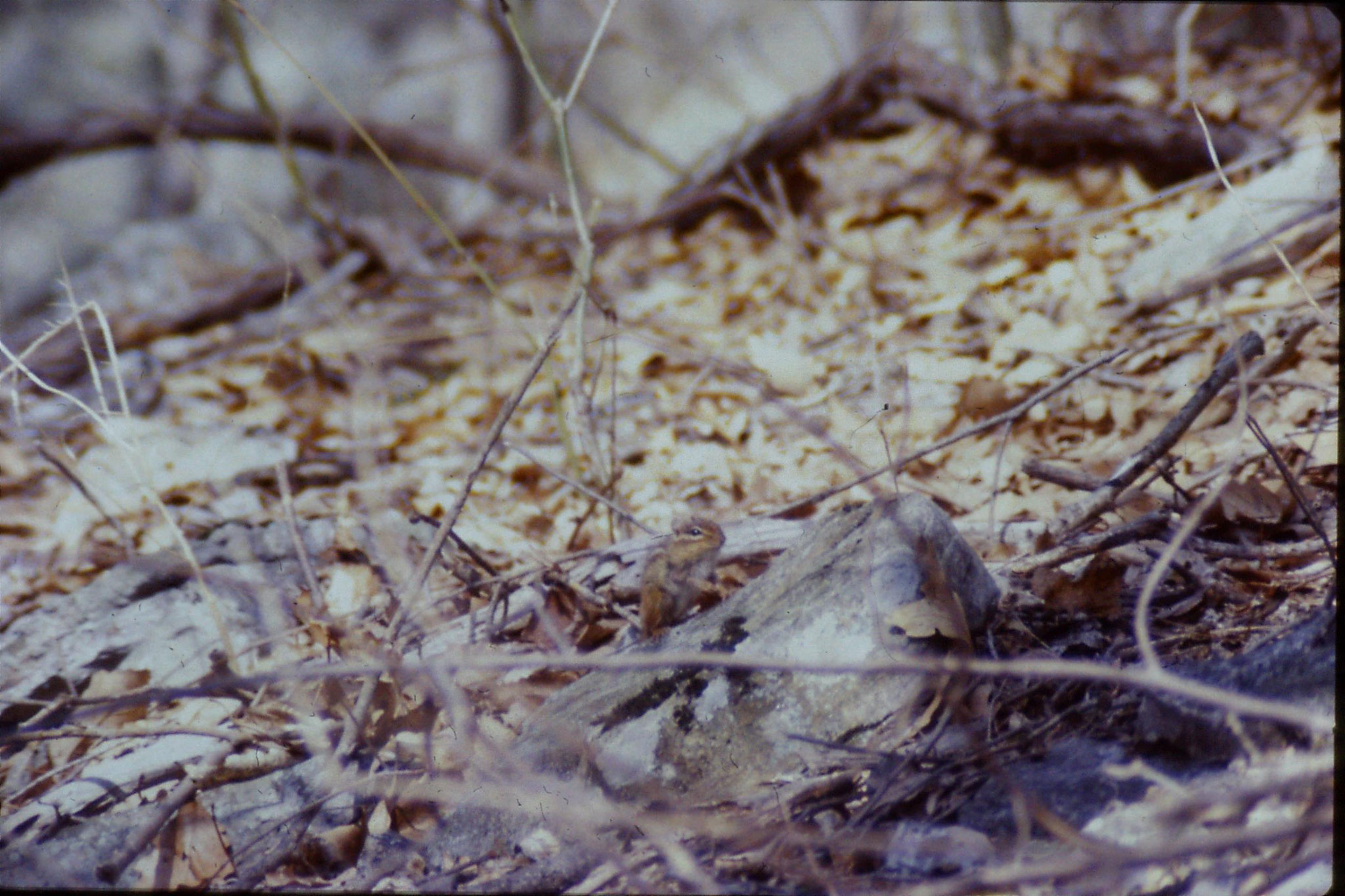 21/3/1990: 33: Seneca Rocks WV Eastern chipmunk