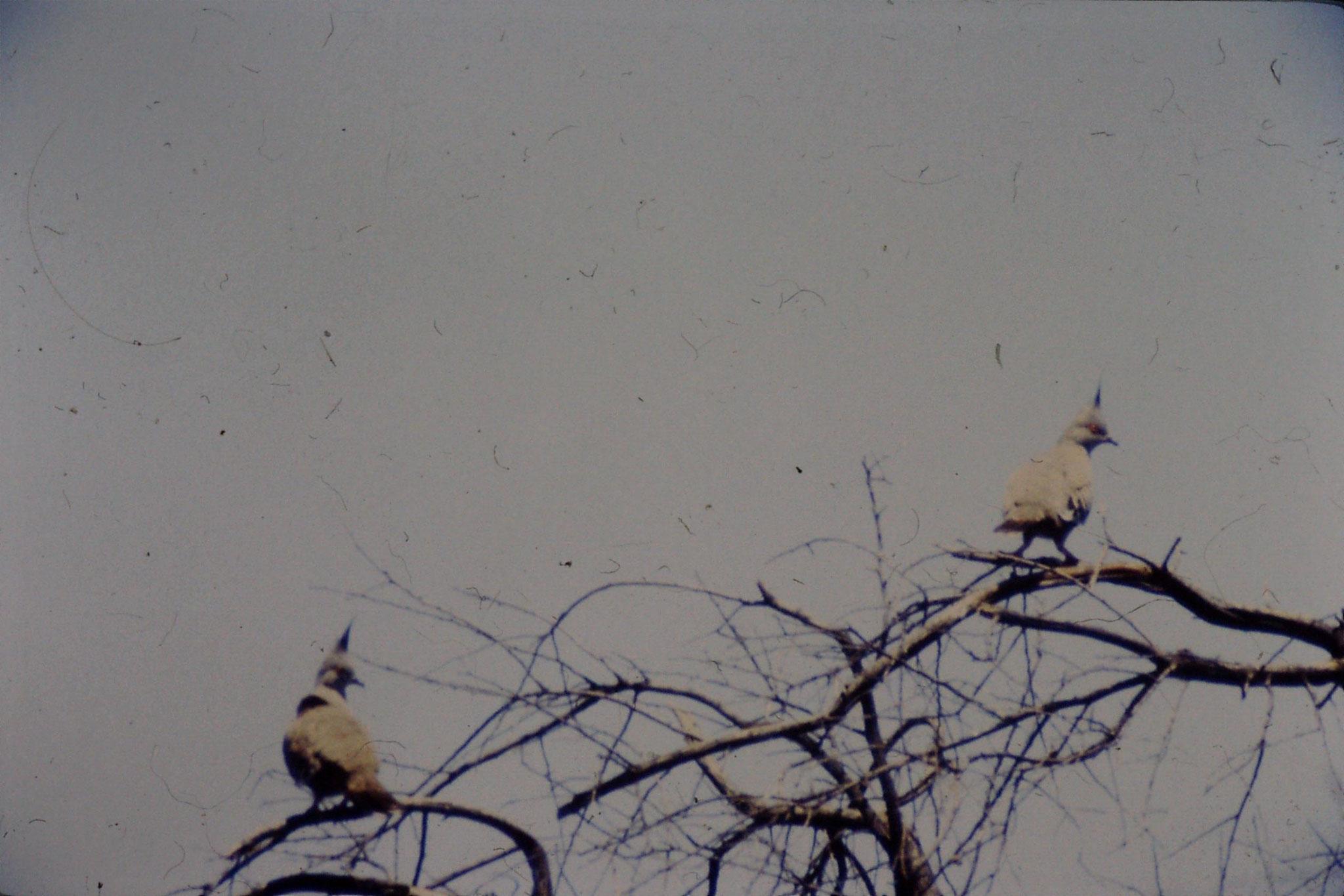 4/11/1990: 25: Kinchega, crested pigeon