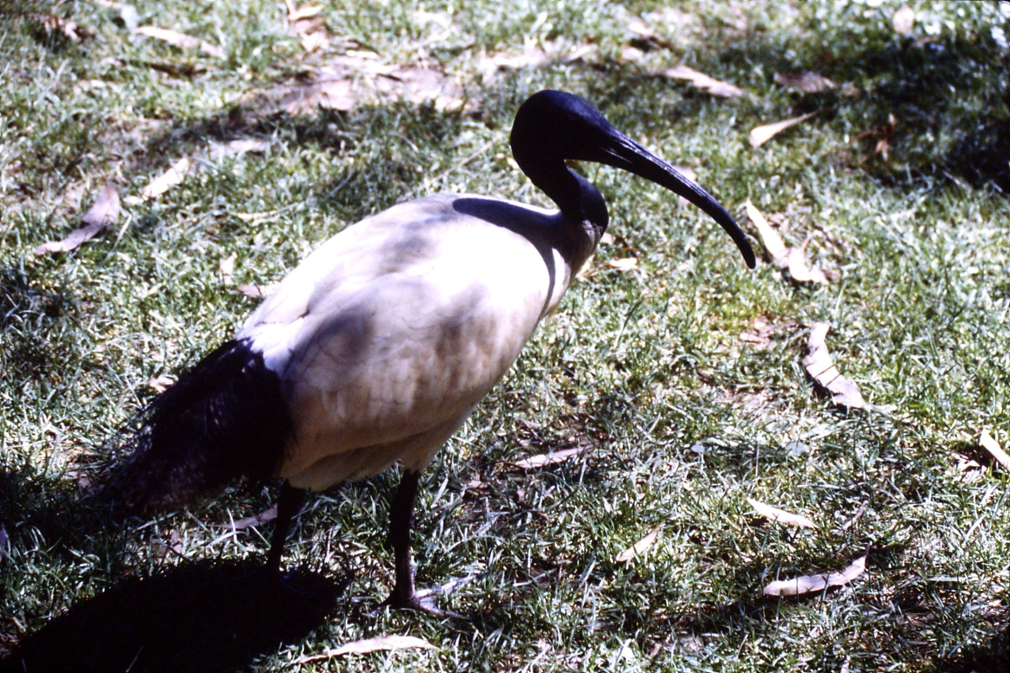 4/10/1990: 10: Healesville  Sanctuary, sacred ibis