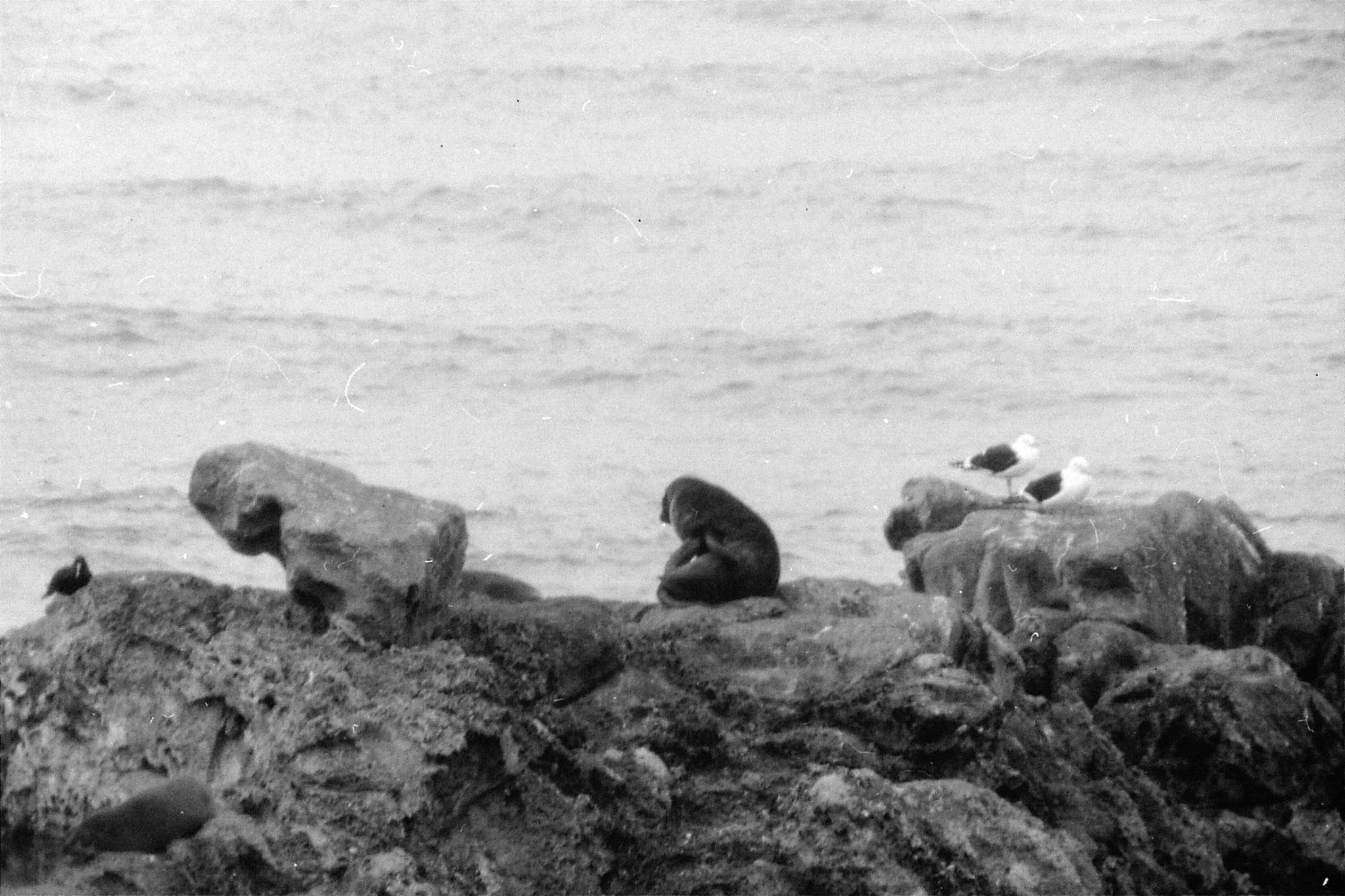 21/8/1990: 27: Knight's Point, west coast, seals