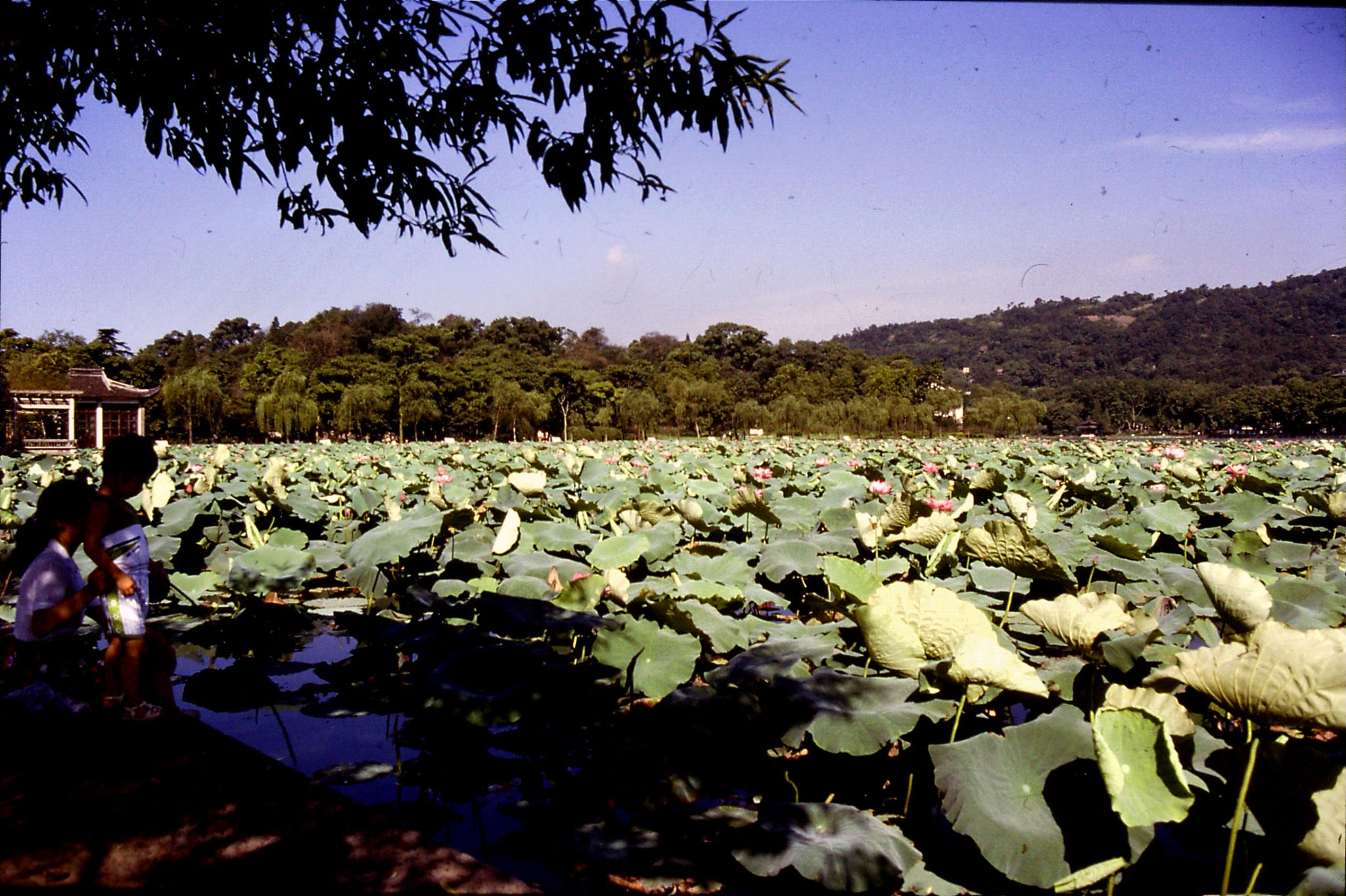 16/7/1989: 26: Hangzhou West Lake lotus leaves