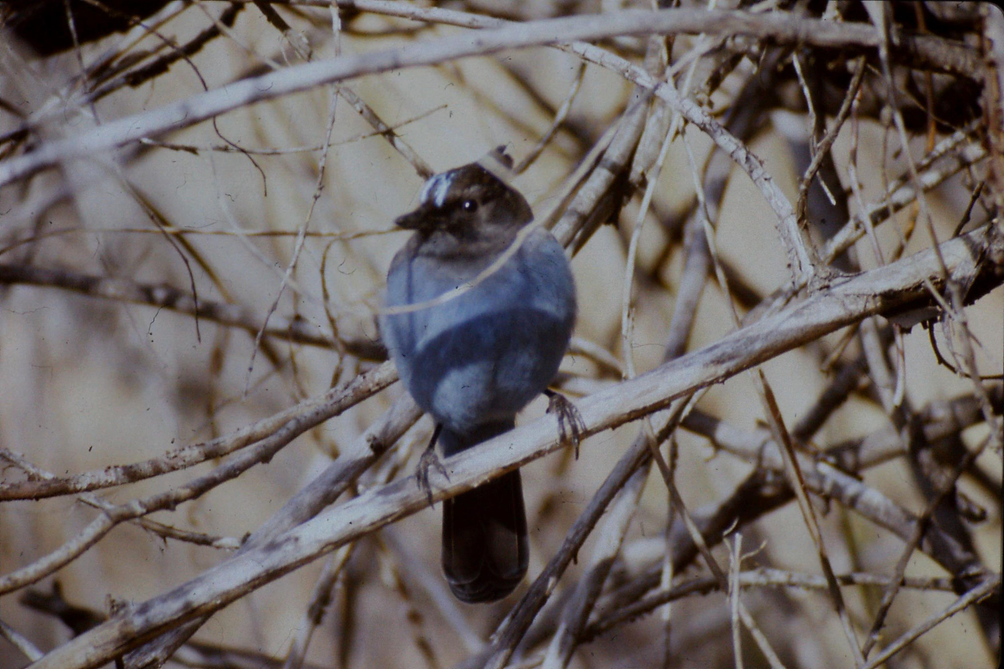 16/2/1991: 18: Yosemite Nat Park, Steller's Jay