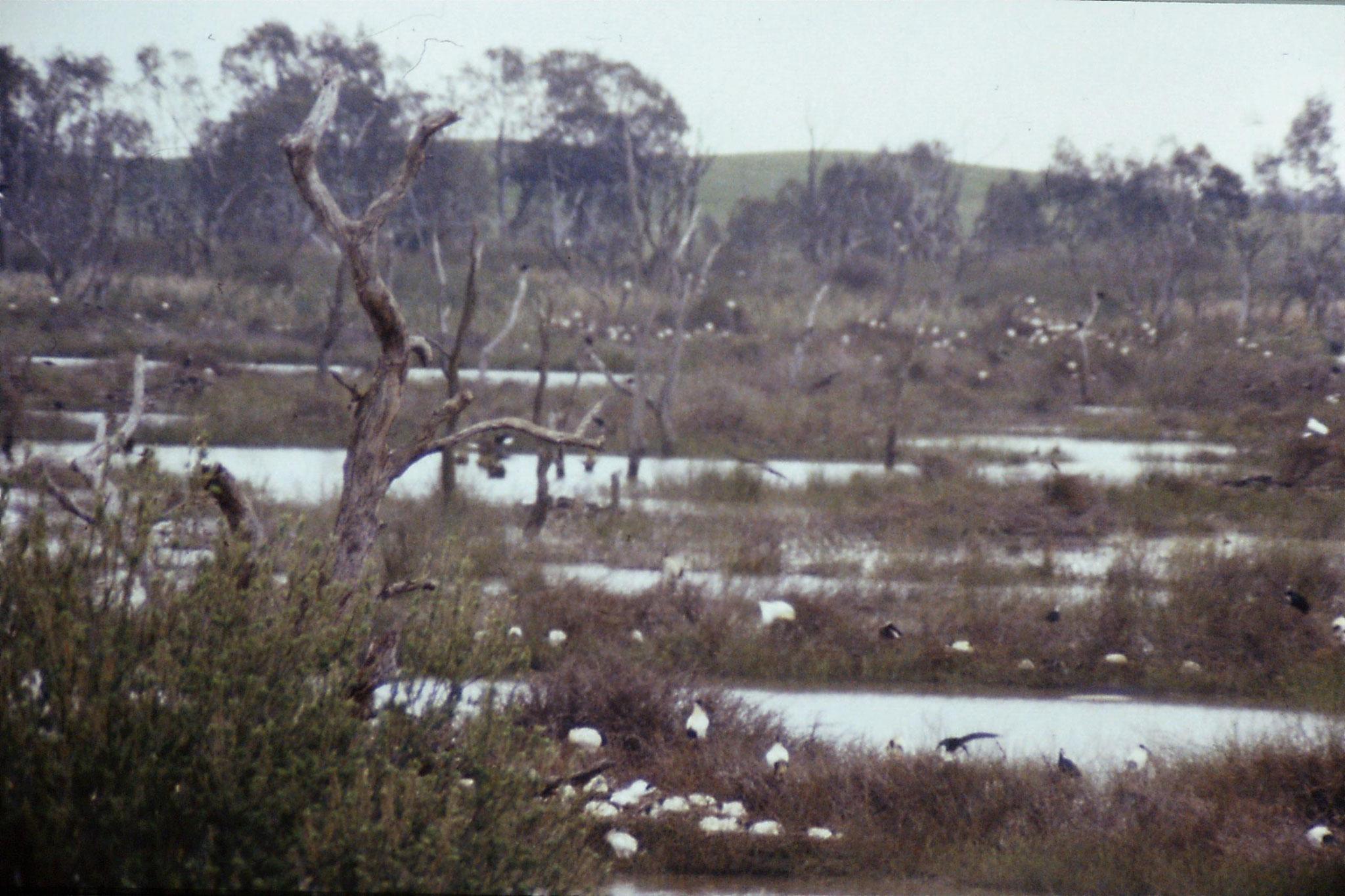 25/9/1990: 21: Kerang, ibis rookery
