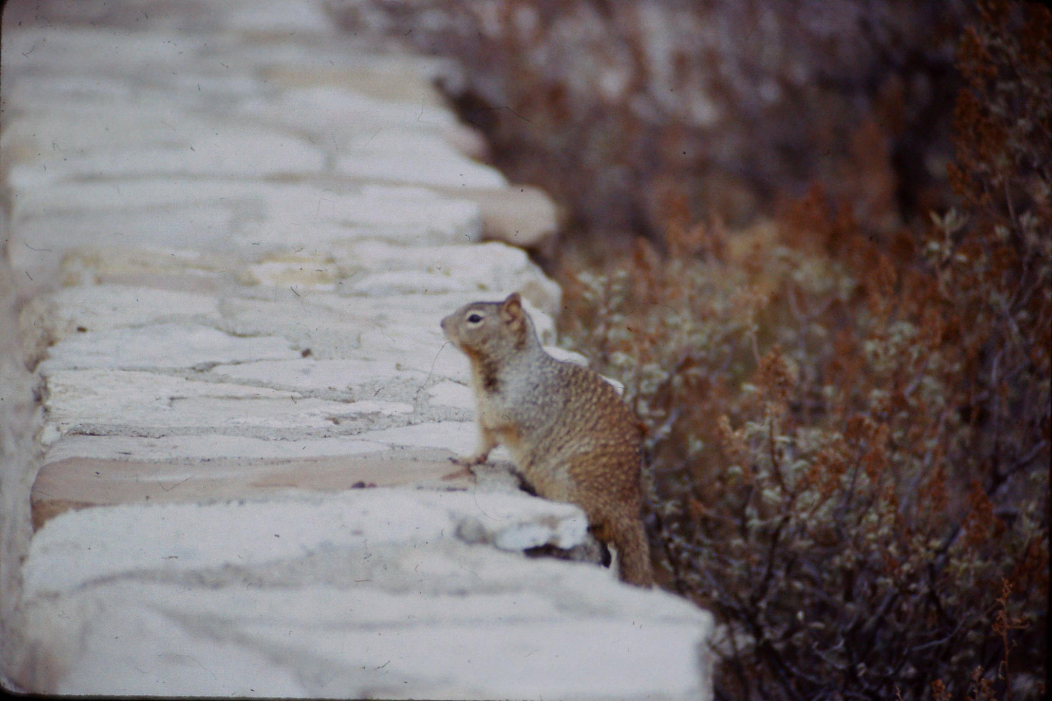 17/12/1990: 2: Abert Squirrels