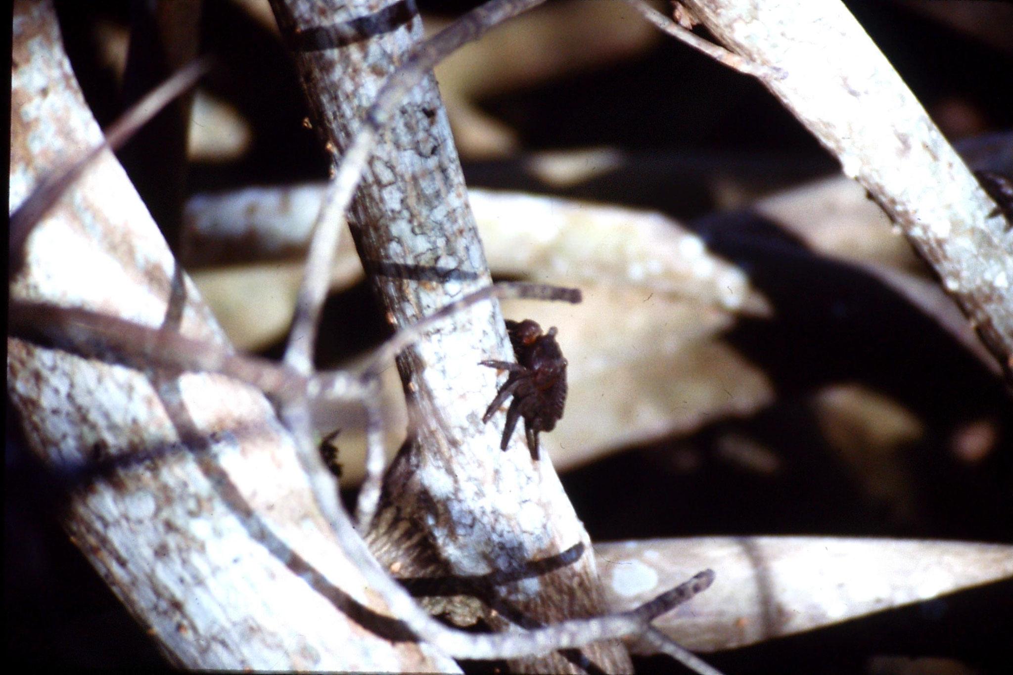 5/1/1991: 24: mangrove crab