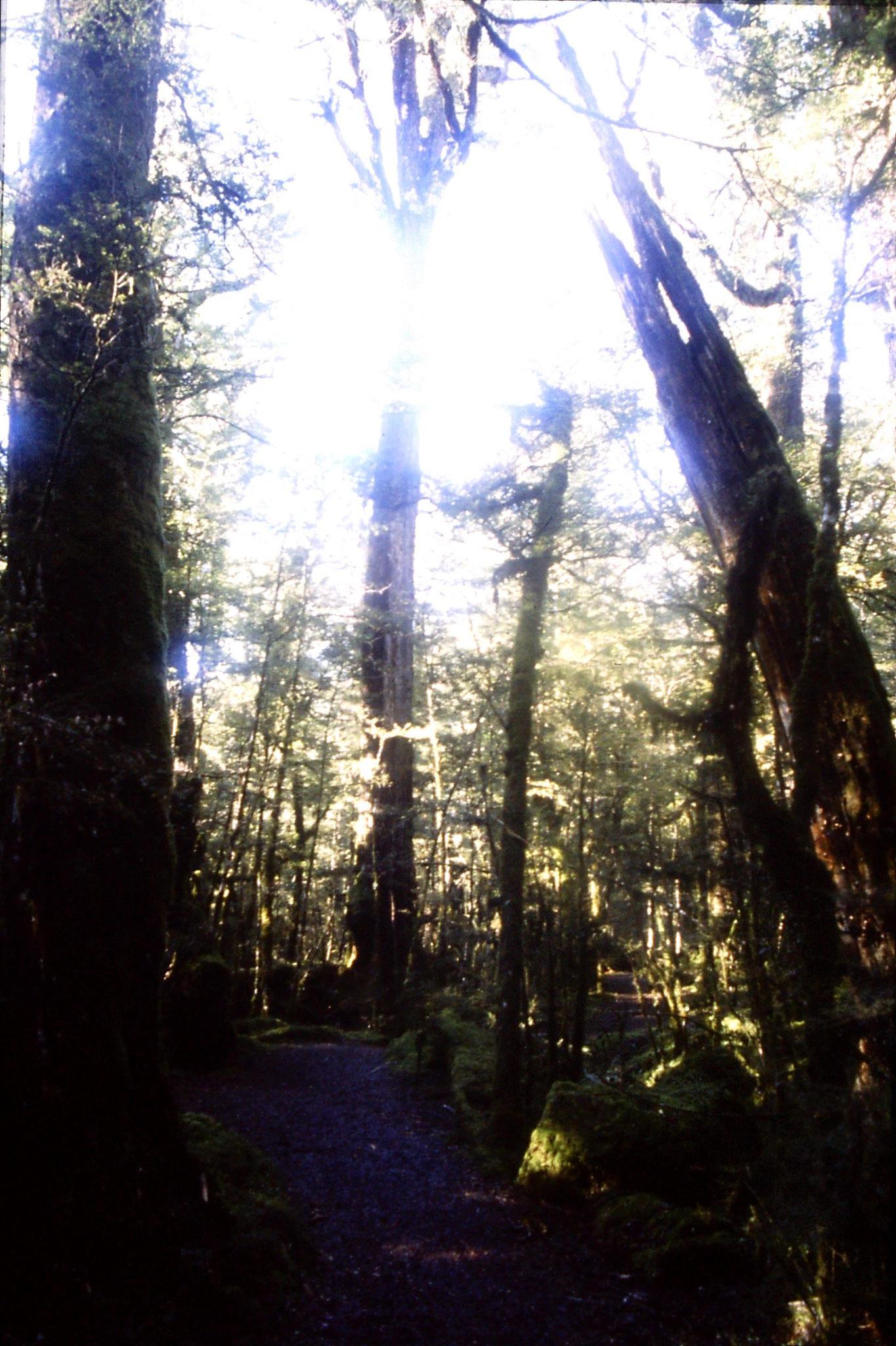 15/8/1990: 35: beech forest