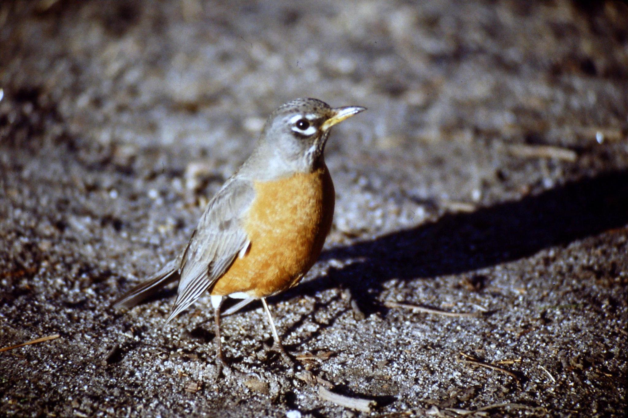 16/2/1991: 28: Yosemite, American Robin