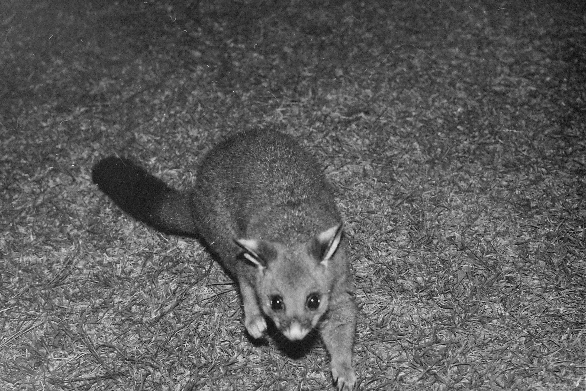 22/9/1990: 7: Dimboola Caravan Park possums