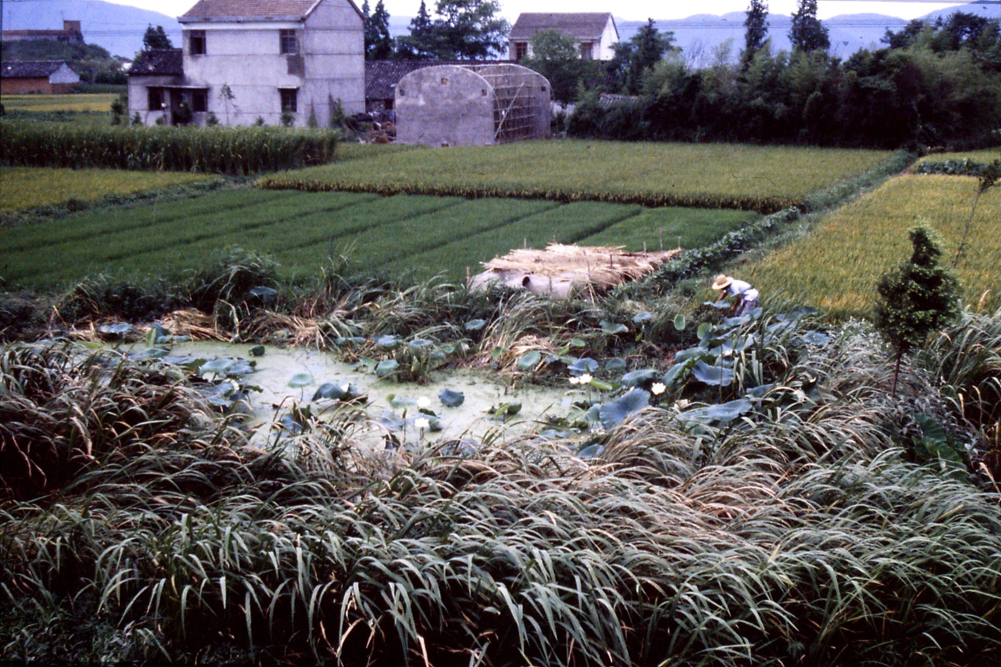 23/7/1989: 39: lotus pnd in rice fields
