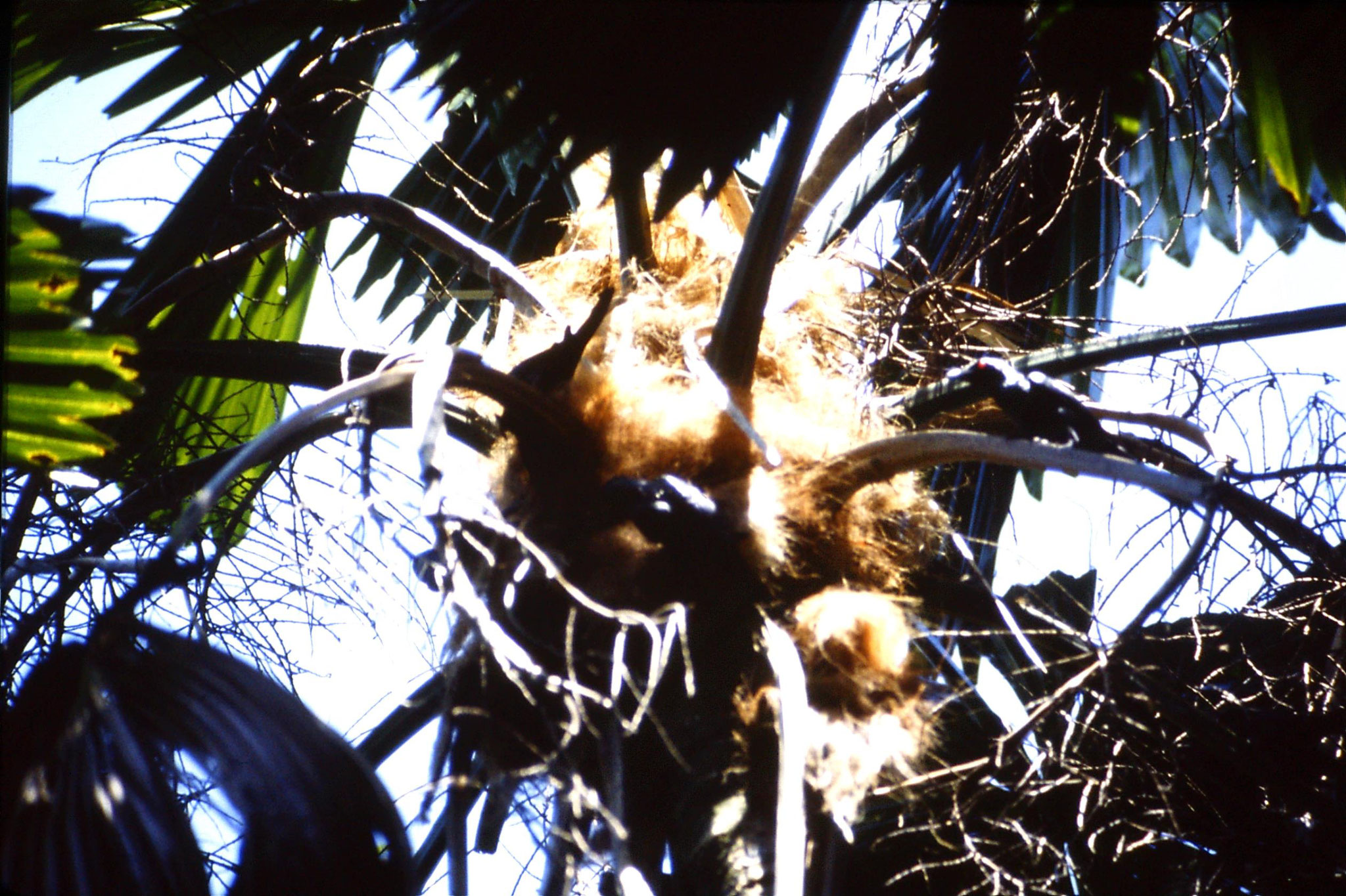 26/10/1990: 18: Cape Tribulation, metallic starlings collecting nest material