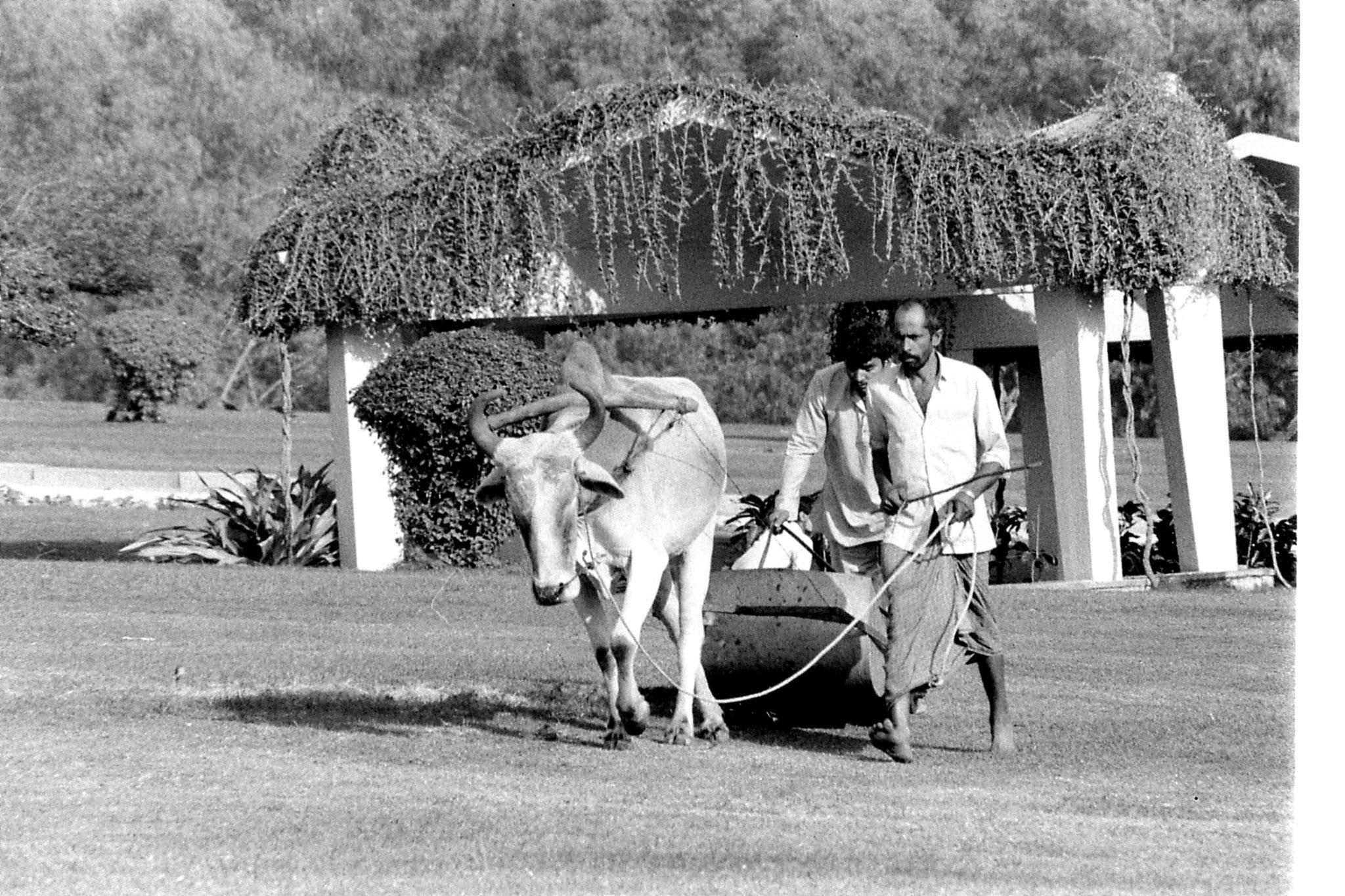 24/11/1989: 20: New Delhi Raj Ghat bullock lawn mower