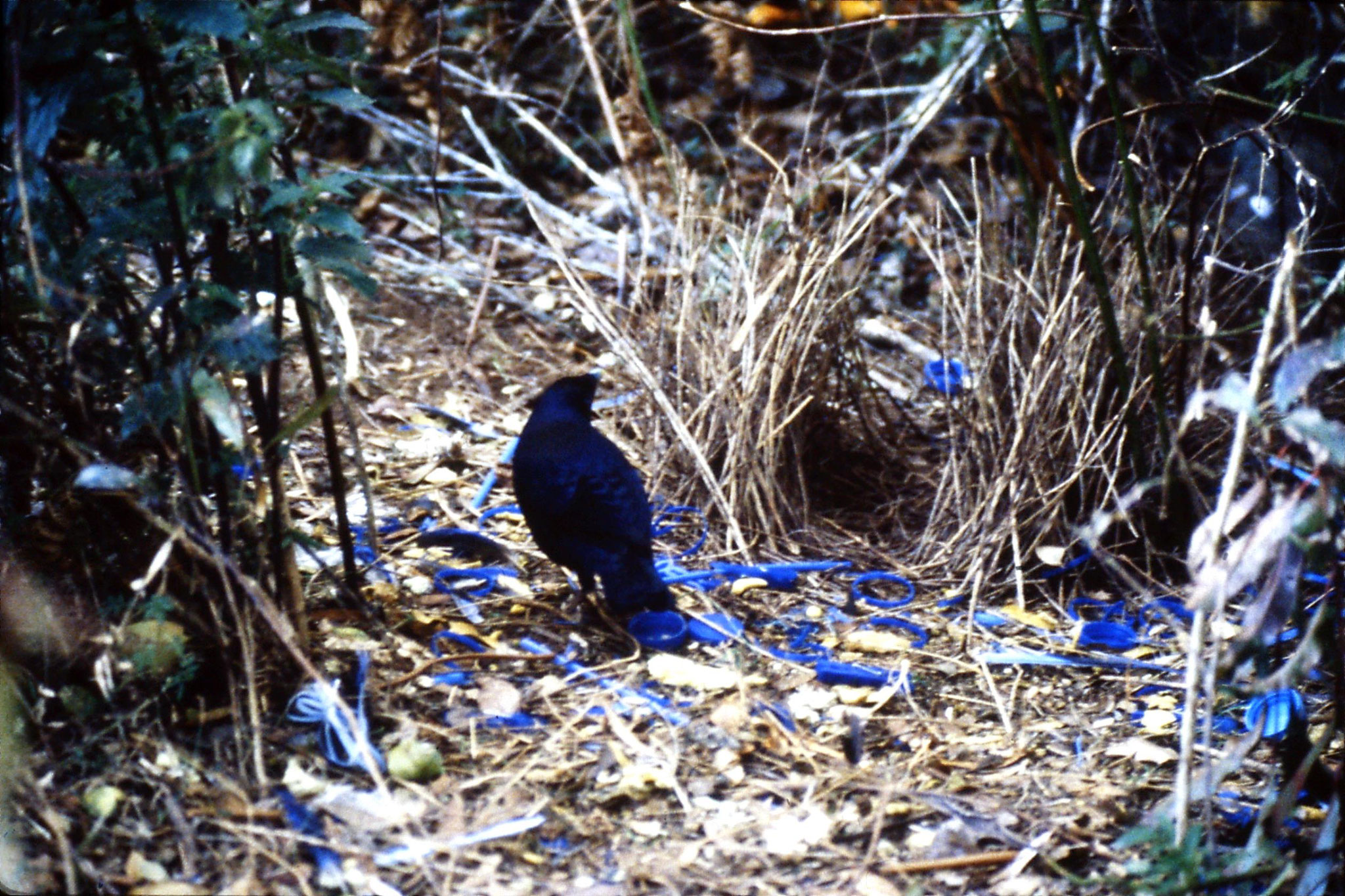 12/10/1990: 5: Mt Lamington, satin bower bird