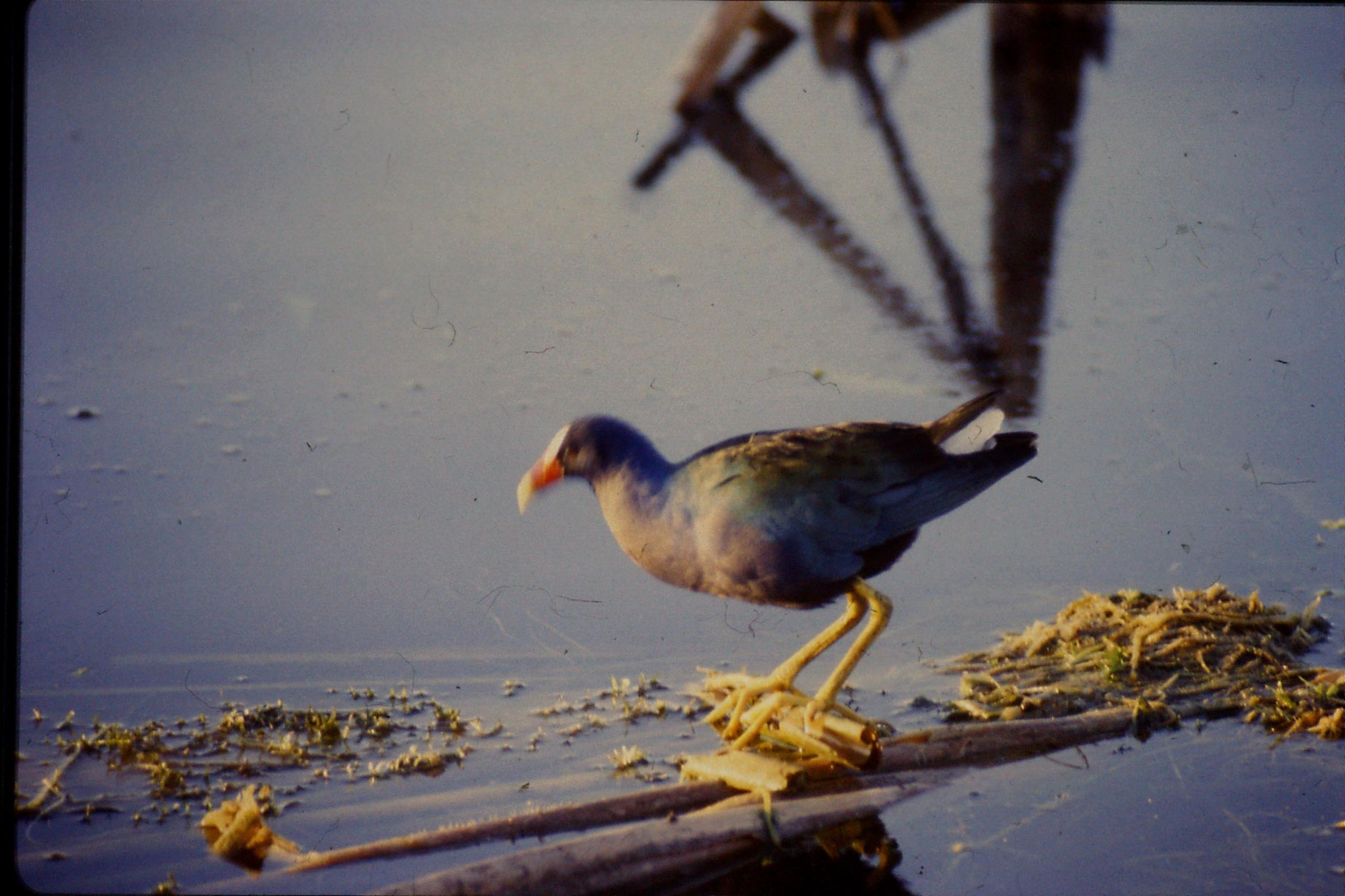 7/3/1991: 24: Loxahatchee Purple Gallinule