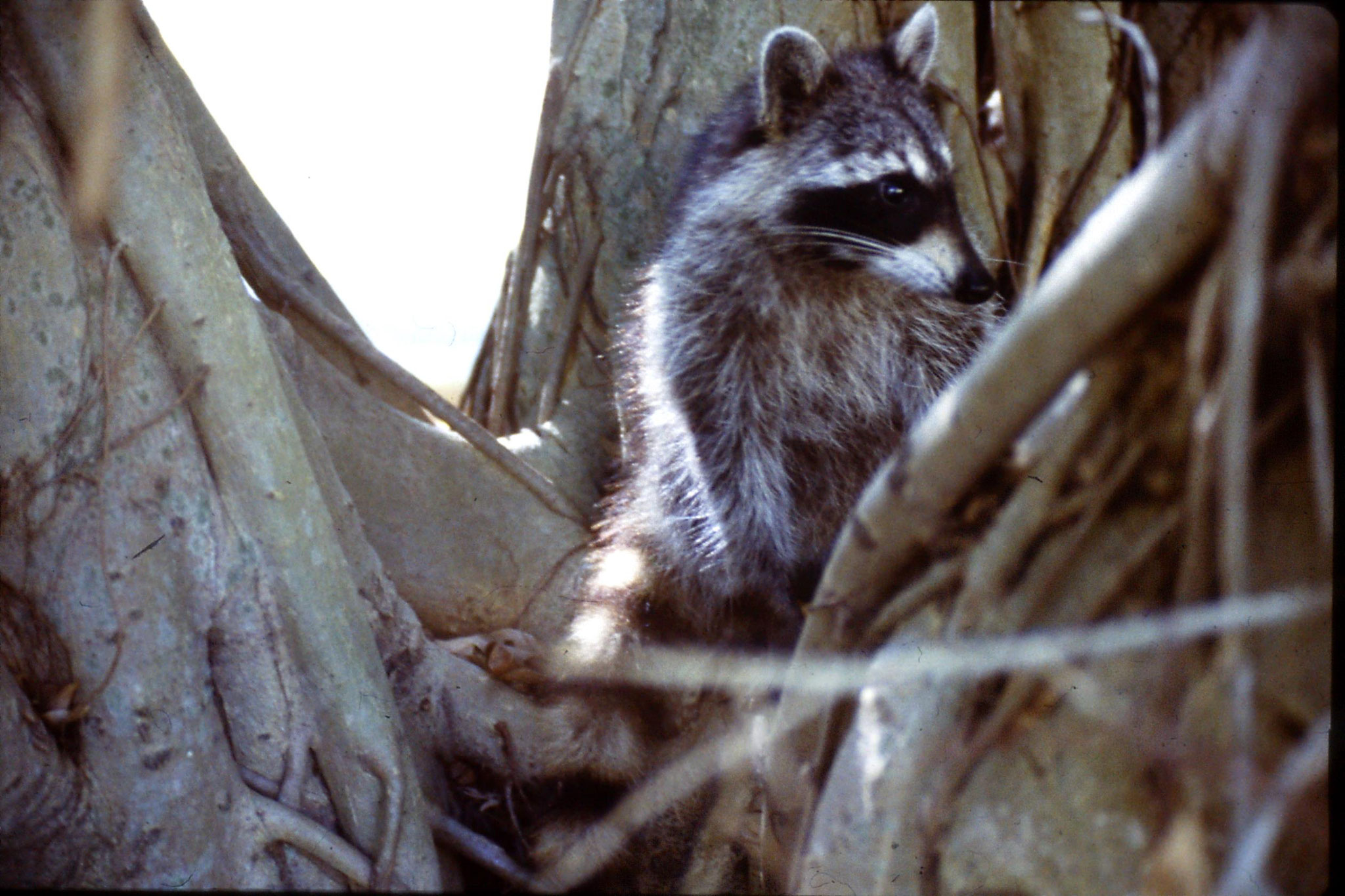 8/3/1991: 2: Key Biscayne raccoon