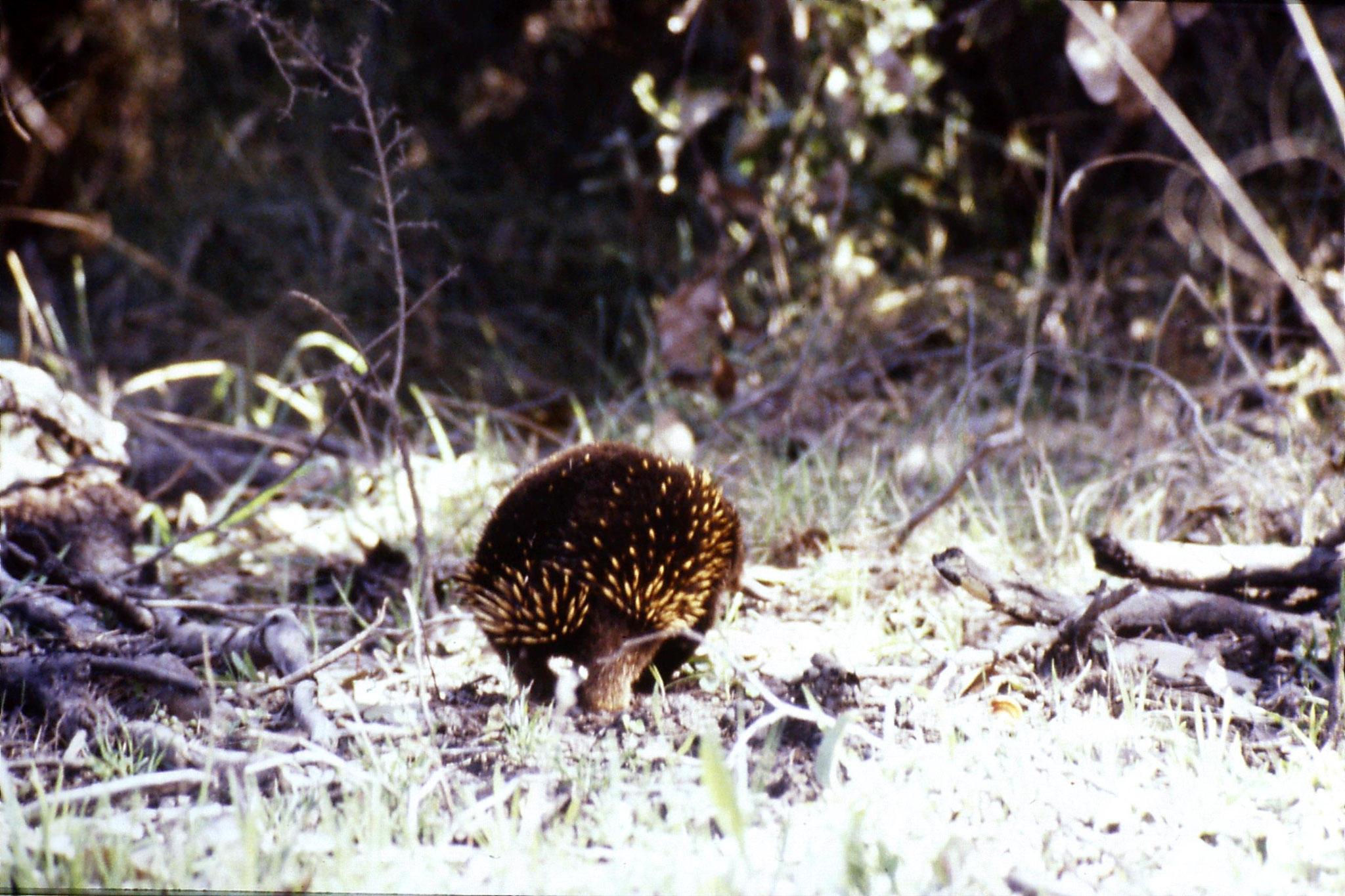 19/9/1990: 22: Cape Otway, echidna