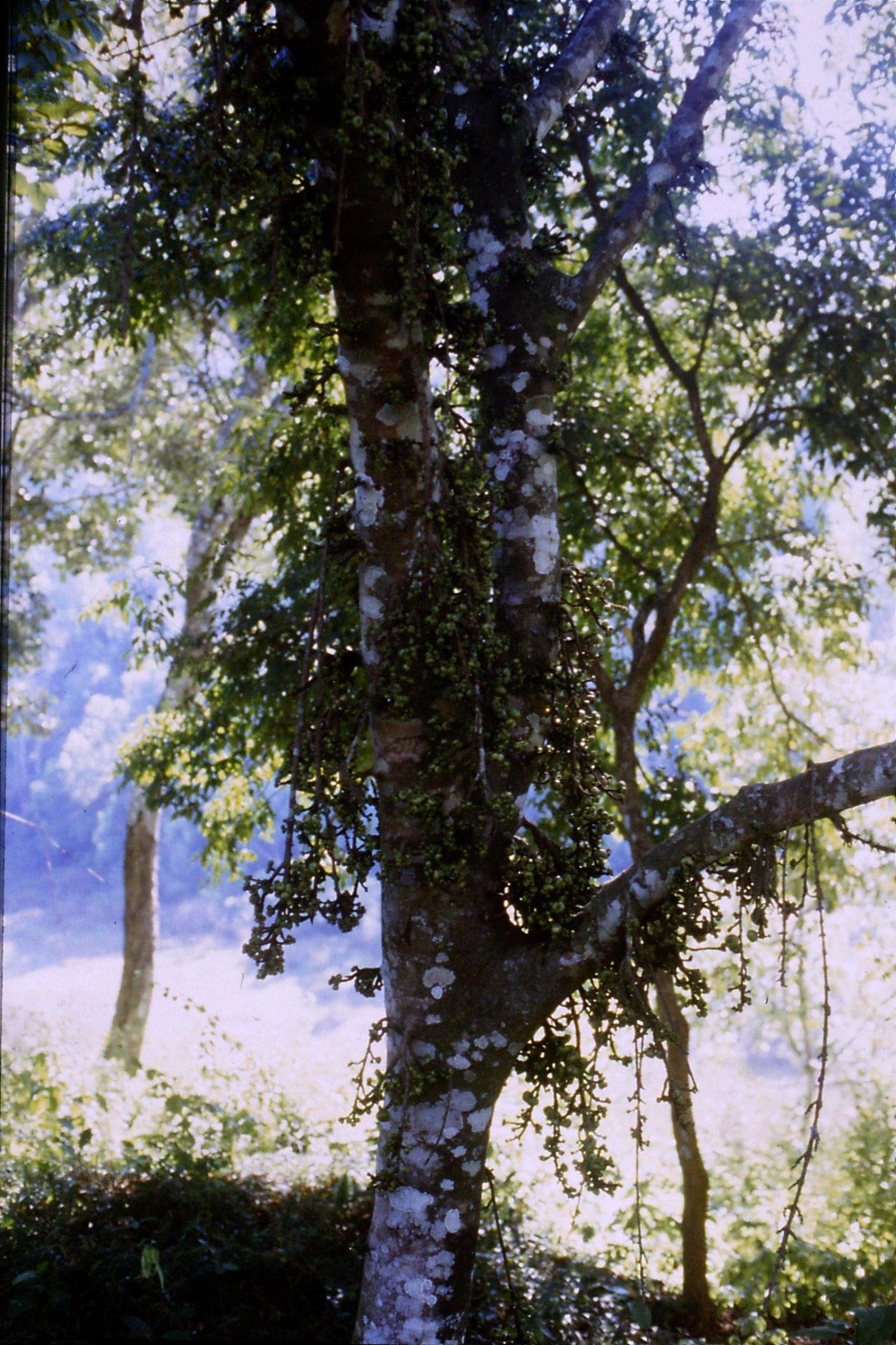 104/36: 23/2/1990 Periyar tree near hotel