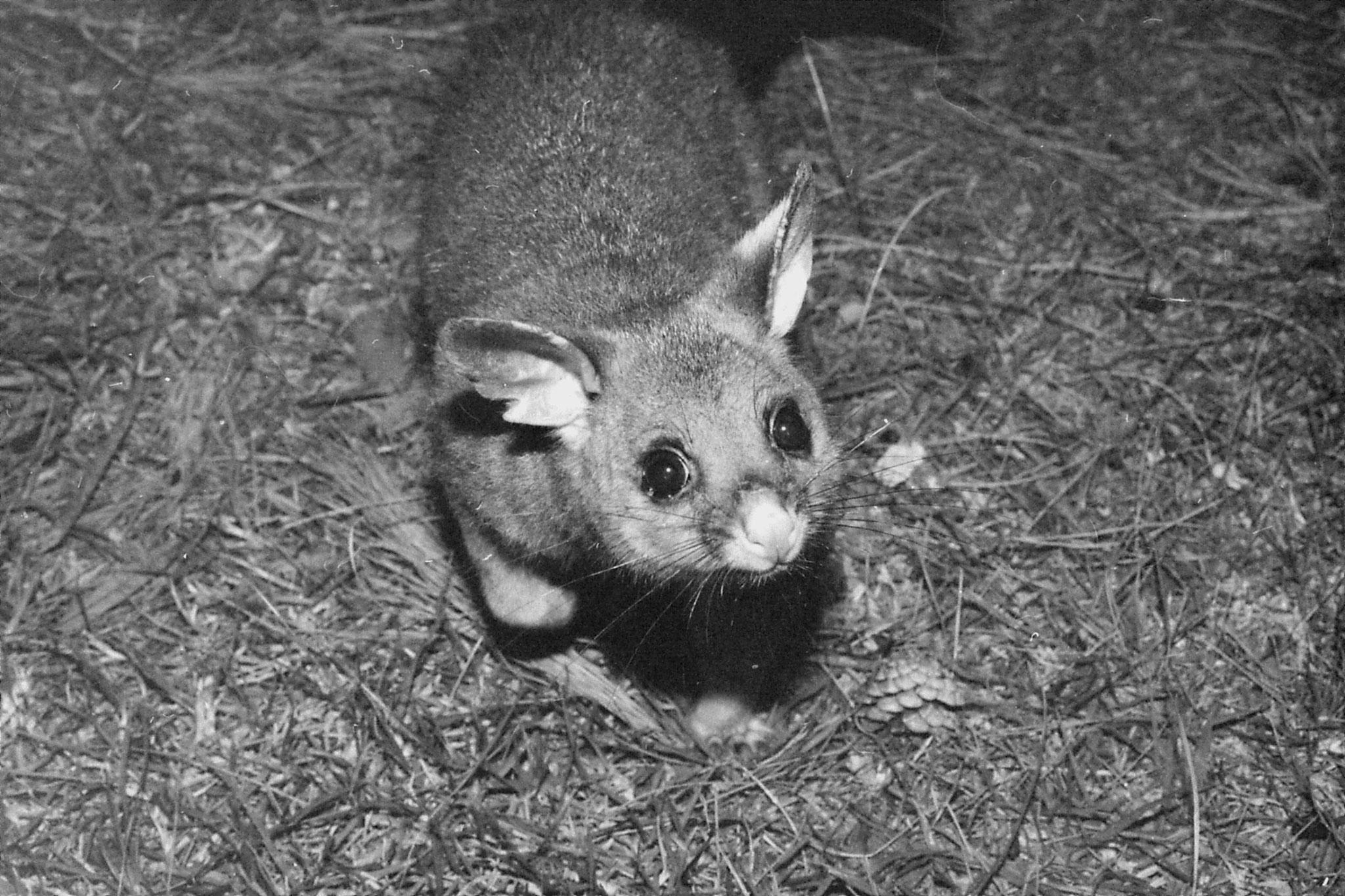 22/9/1990: 4: Dimboola Caravan Park possums