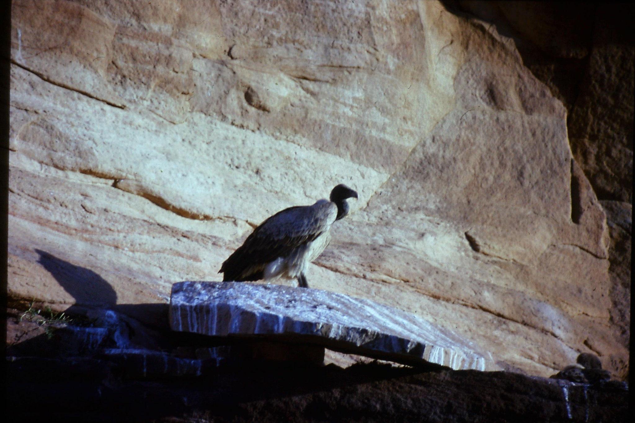 28/11/1989: 37: Jodhpur Red Fort vulture