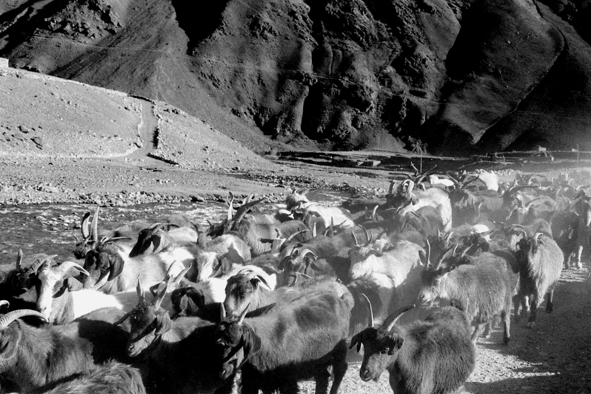 26/10/1989: 10: between Barsat and Langar, goats