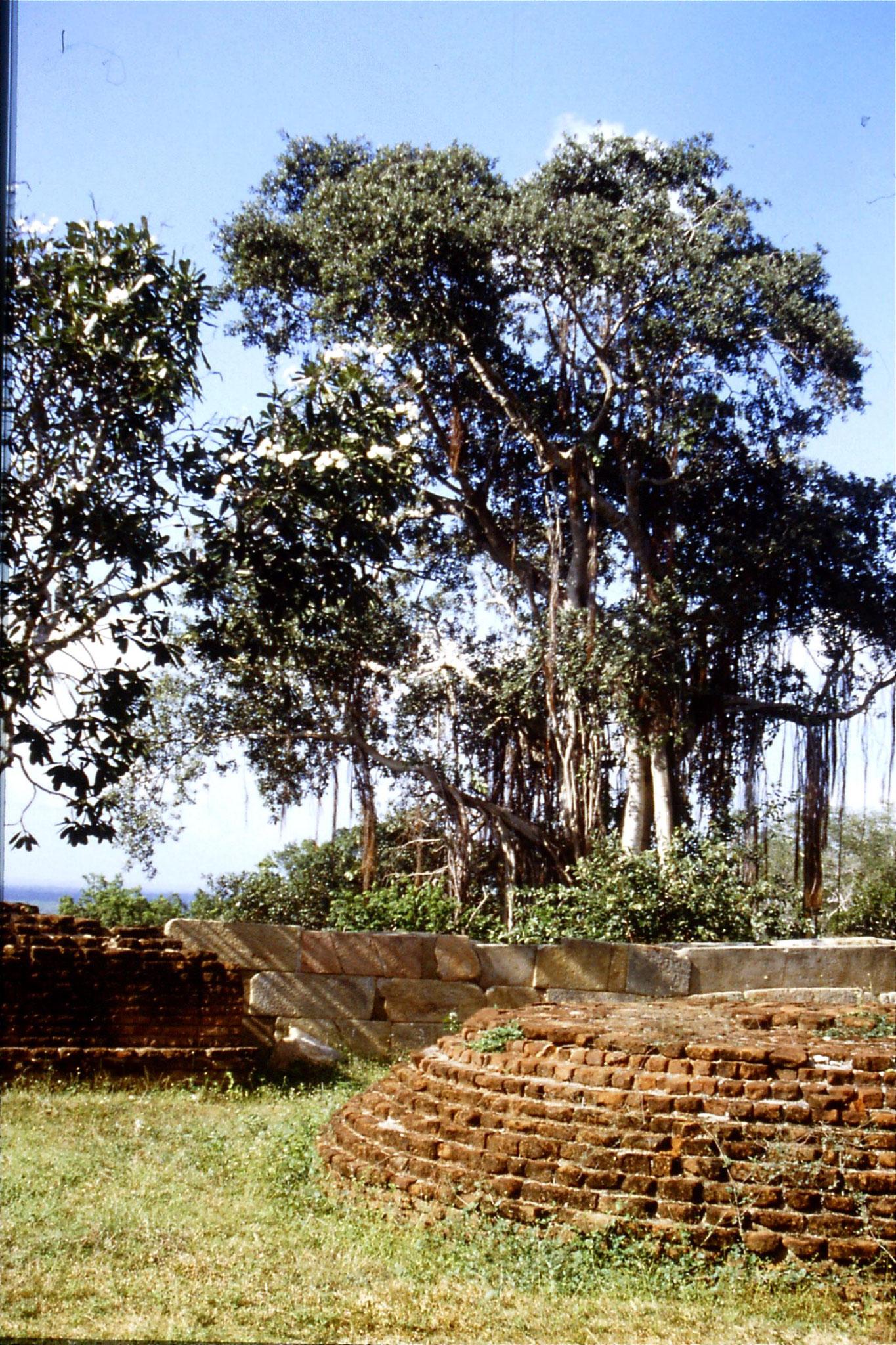 8/2/1990: 0: Mihintale, banyan and frangipani