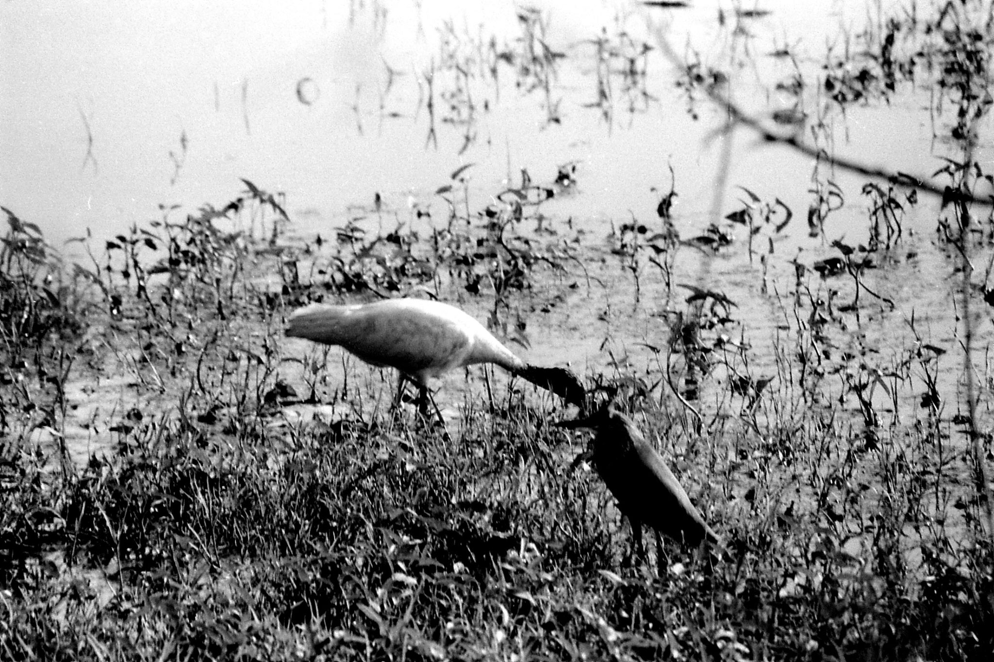 1/4/1990: 25: Bharatpur Ibis and Pond Heron