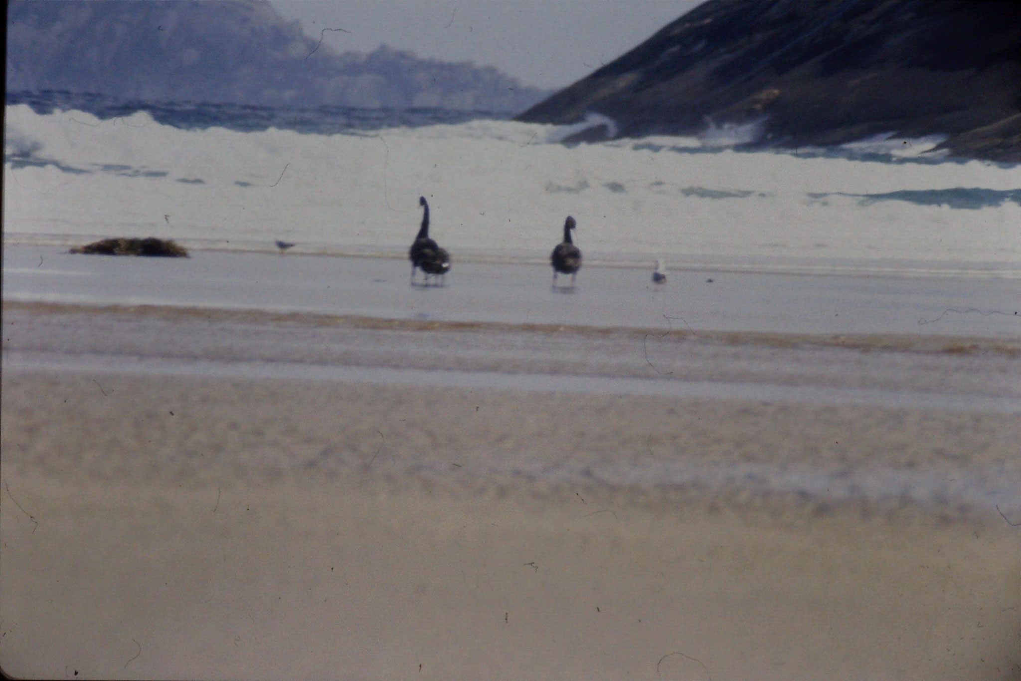 2/10/1990: 7:Wilson's Promontory, black swans at Norman Bay