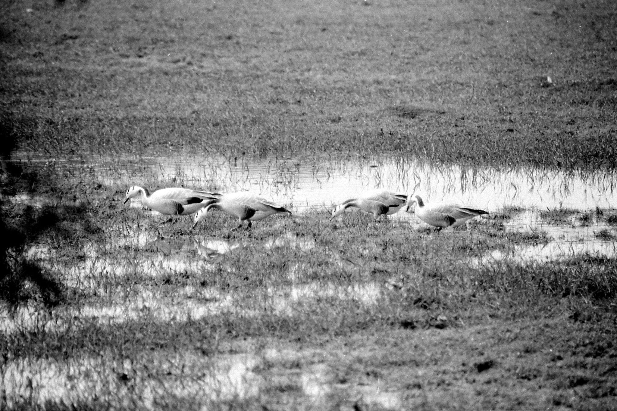 1/4/1990: 9: Bharatpur Bar-headed geese