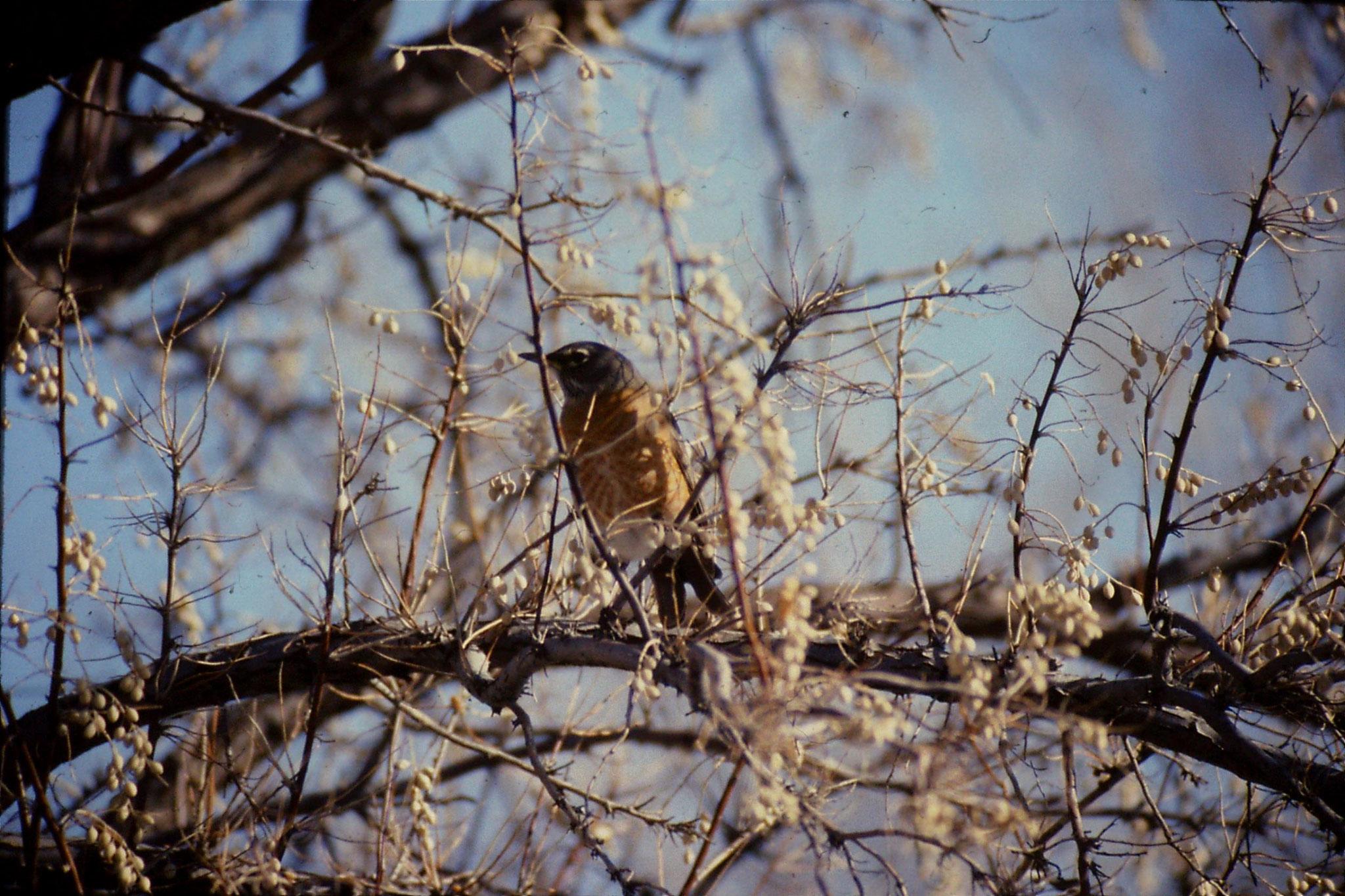 24/1/1991: 31: Bruneau Sand Dunes: American robin