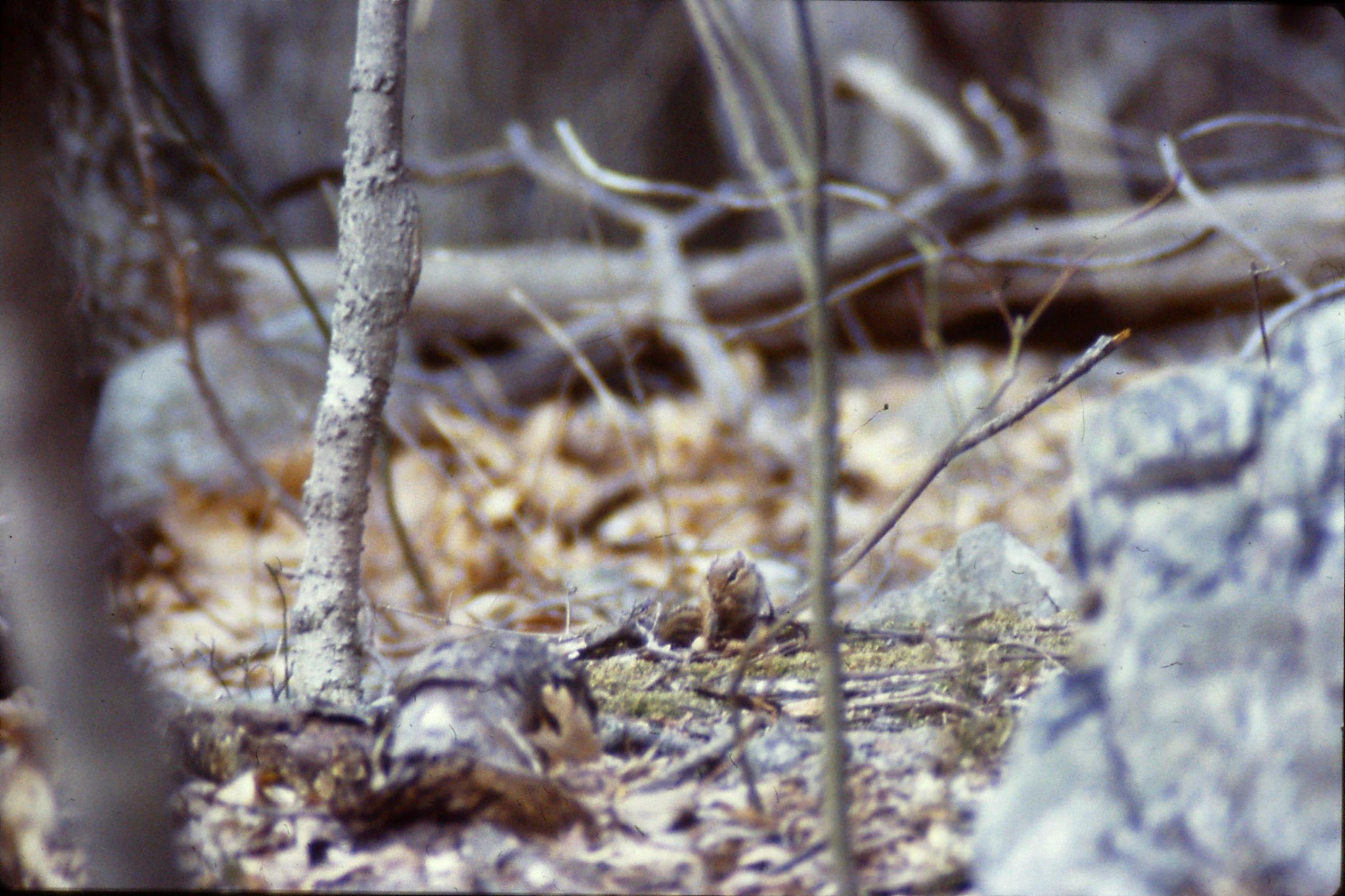 21/3/1990: 32: Seneca Rocks WV Eastern chipmunk